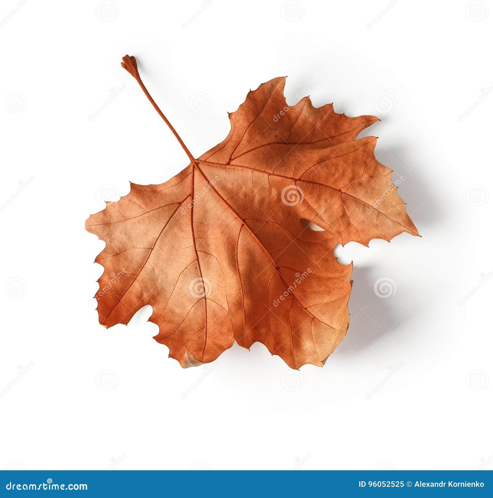 Plan rapproché de feuille d automne d érable sur le blanc