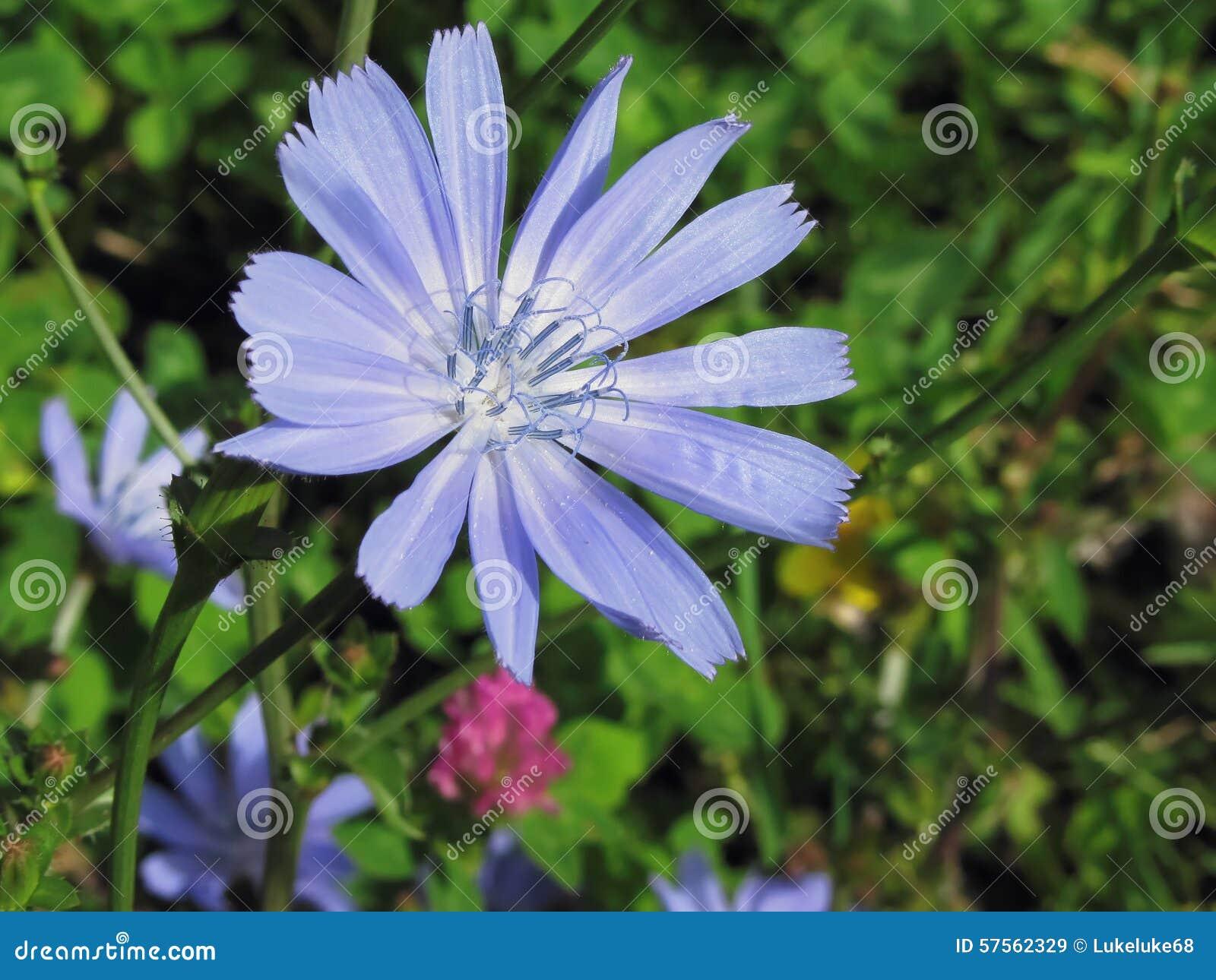Fleurs Des Champs Bleues Fleur Boule Mauve Vap Vap