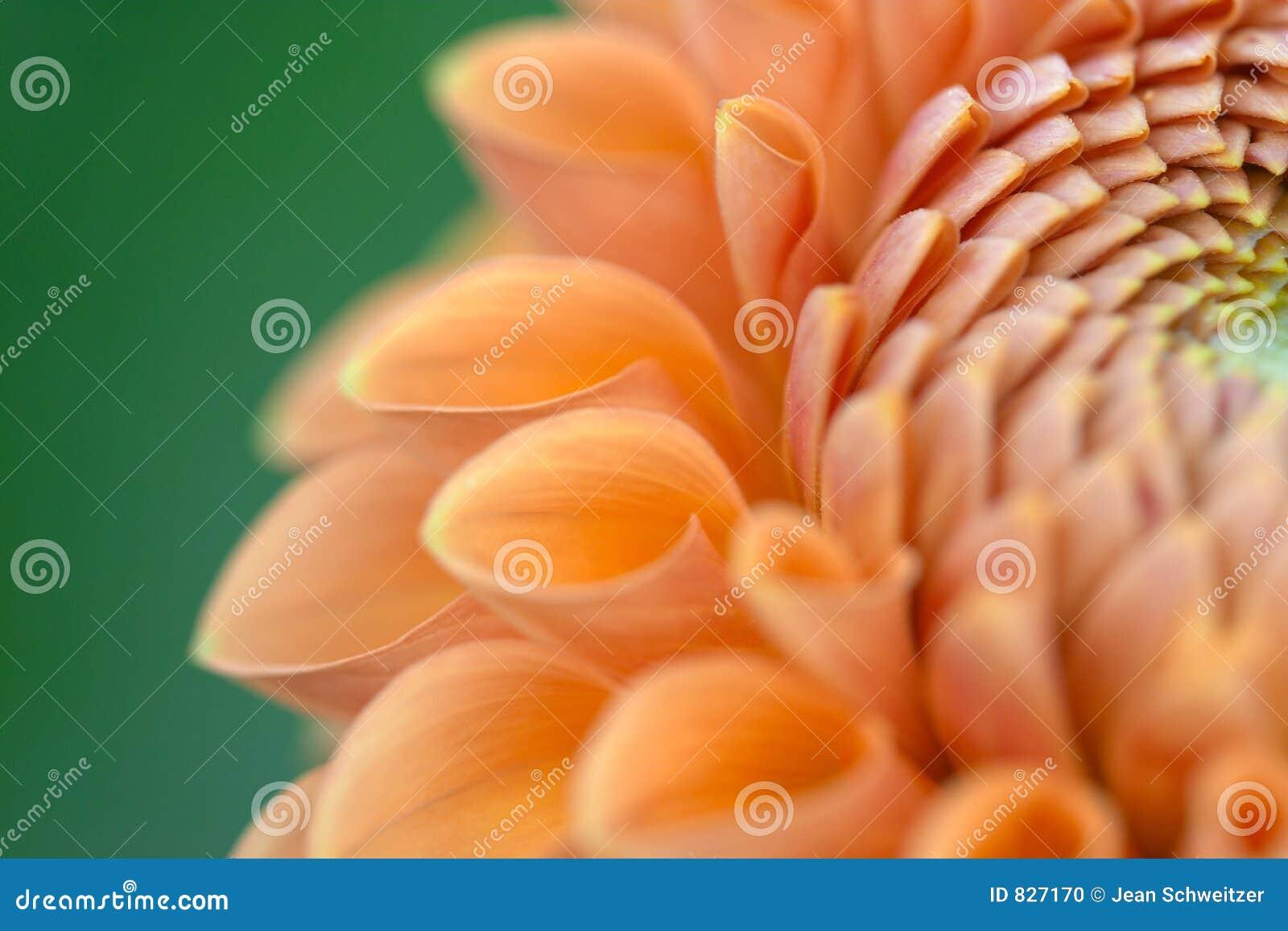 Plan rapproché de fleur de dahlia
