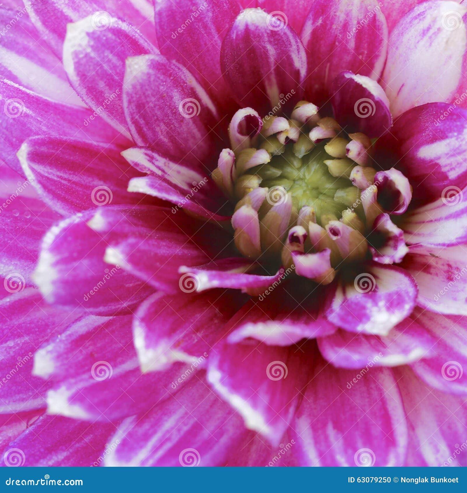 Download Plan Rapproché De Fleur Rose Et Blanche D'aster Photo stock - Image du nature, simple: 63079250