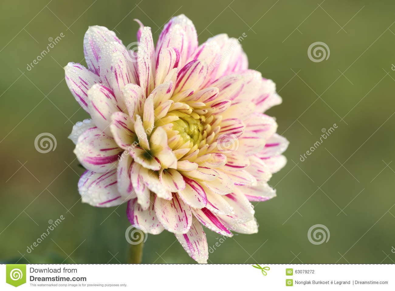 Download Plan Rapproché De Fleur Rose Et Blanche D'aster Photo stock - Image du centrale, nature: 63079272