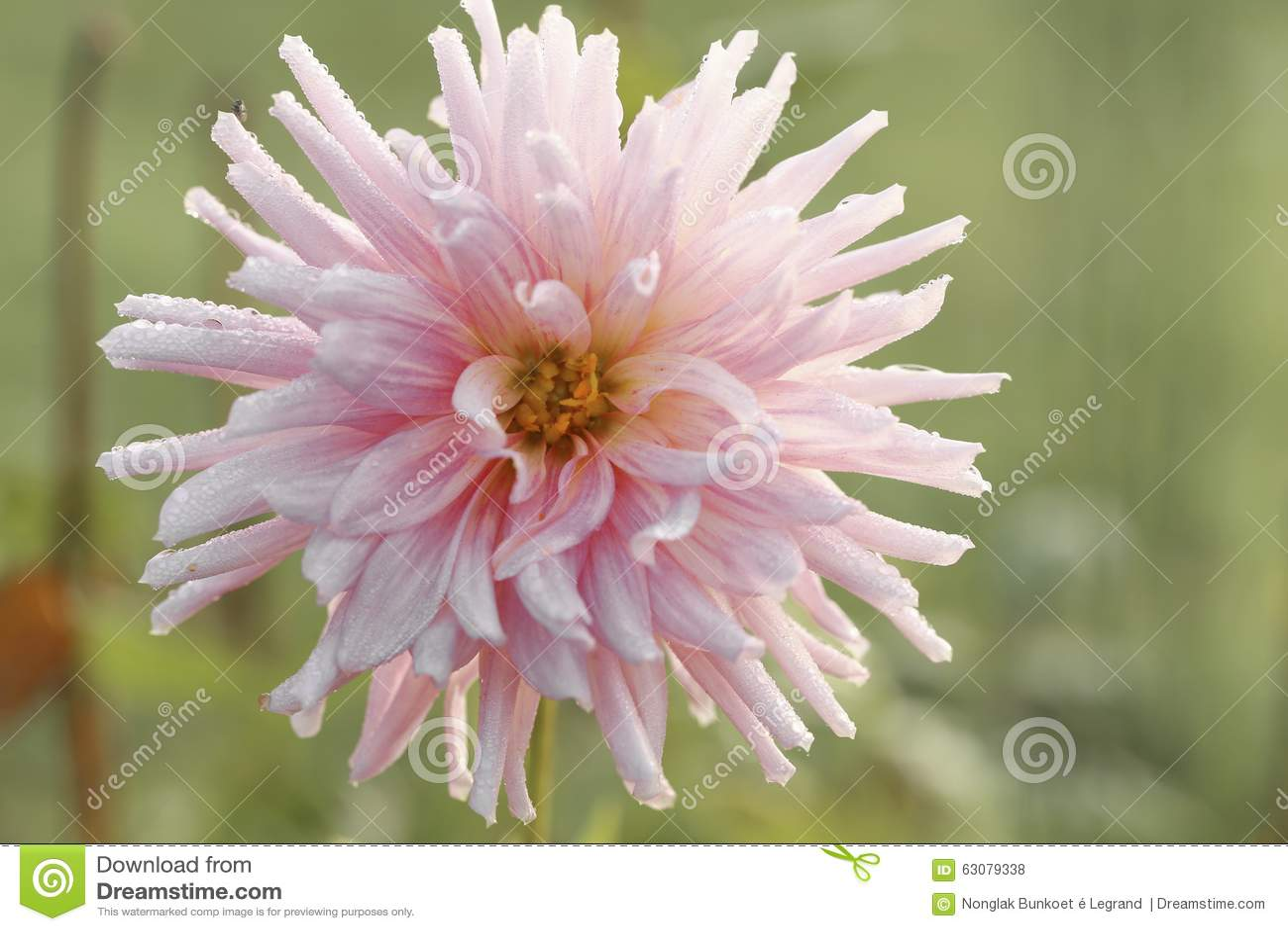 Download Plan Rapproché De Fleur Rose Et Blanche D'aster Photo stock - Image du detail, frais: 63079338