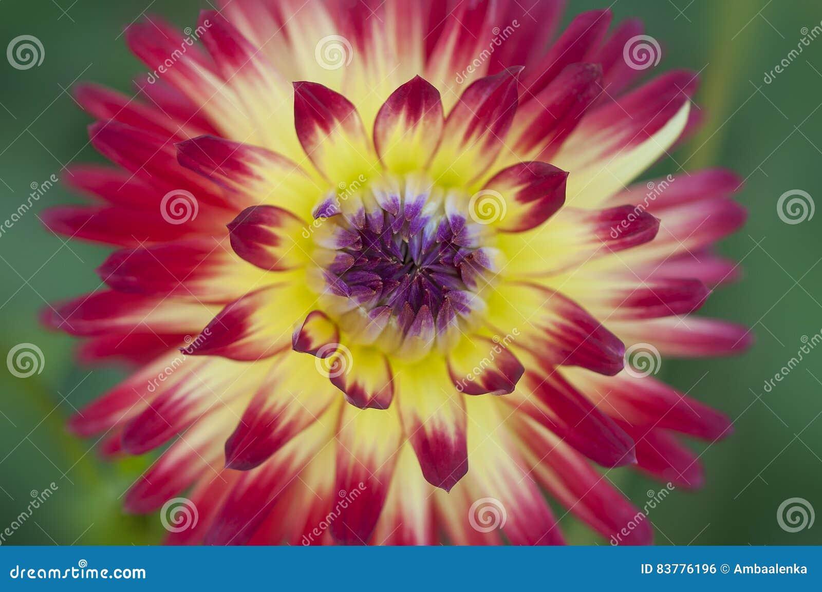 plan rapproché de fleur rouge et jaune vive de dahlia photo stock
