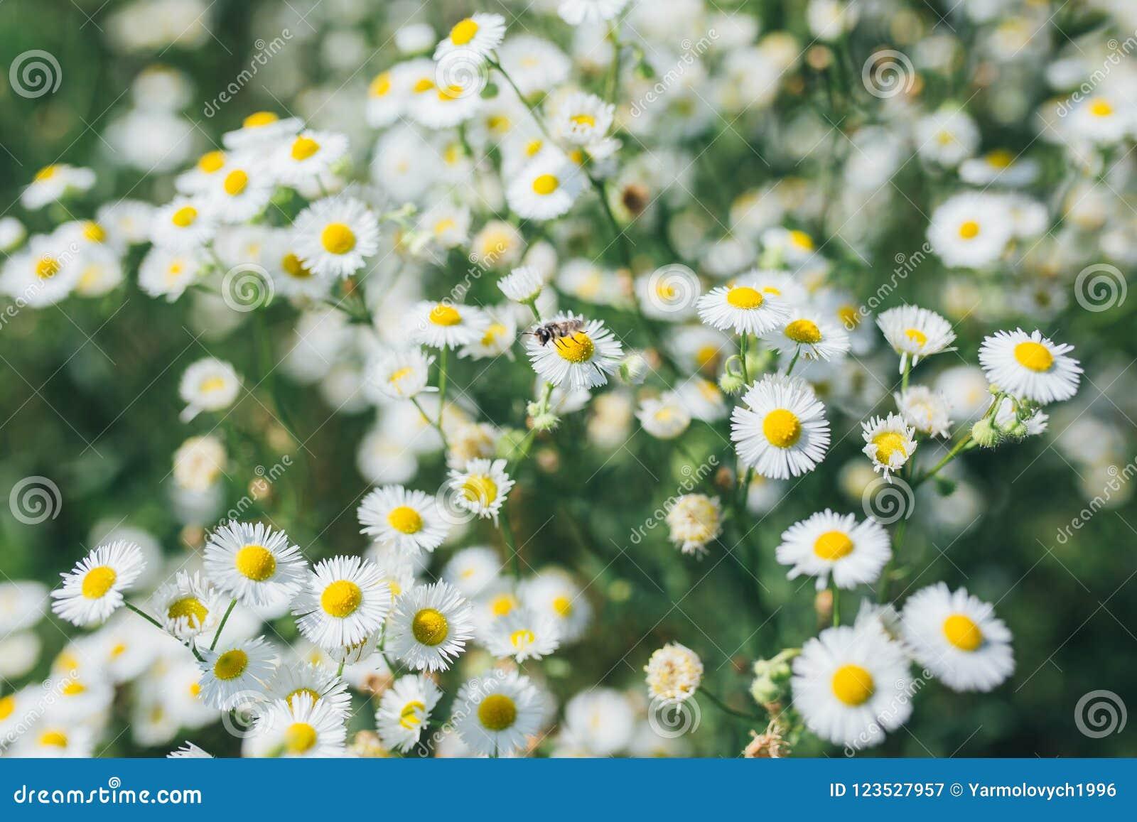 Plan rapproché de fleurs de camomilles de champ