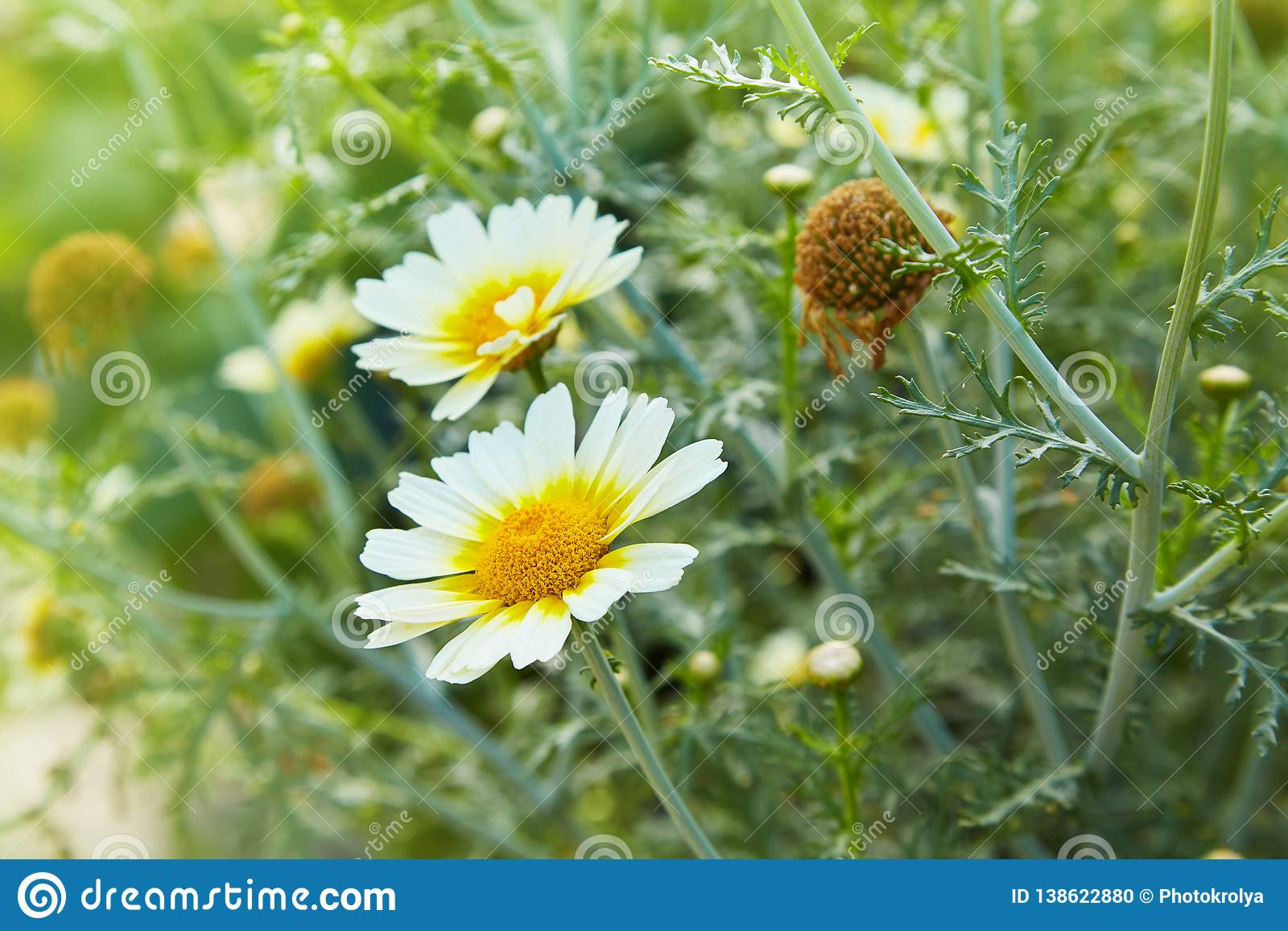 Plan rapproché de fleurs de marguerite de camomilles de jardin Belle scène de nature avec les camomilles médicales de floraison