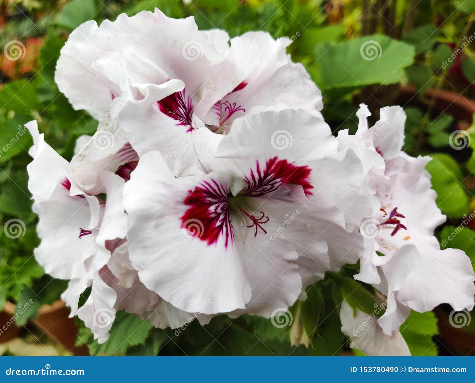 Plan rapproché de géranium, une fleur blanche de floraison avec un noyau magenta