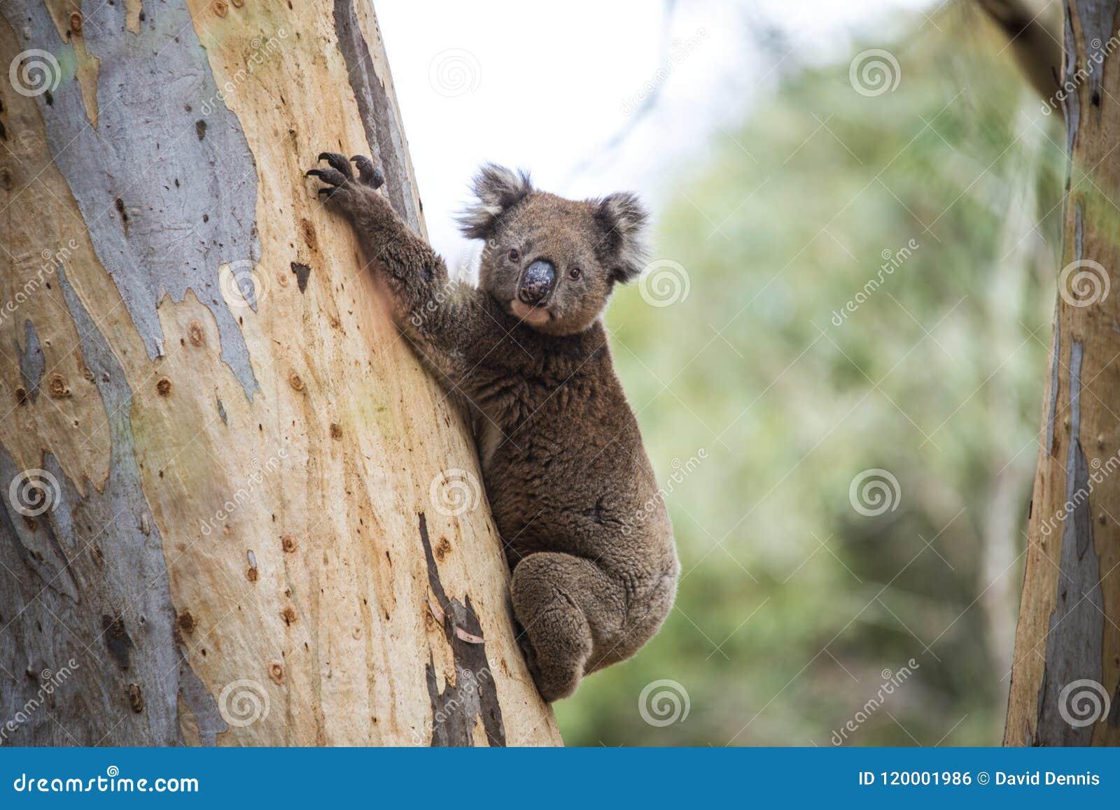 Plan rapproché de koala sauvage dans les forêts d eucalyptus d île de kangourou, Australie du sud