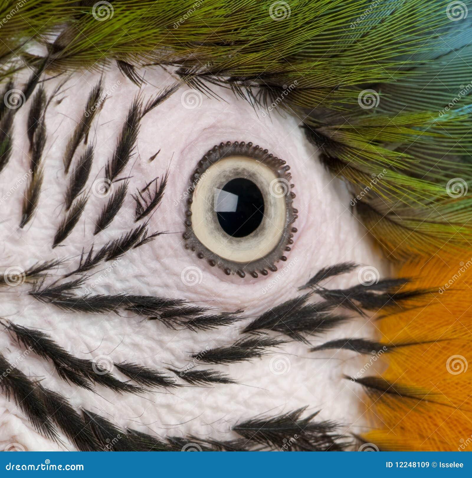 Plan rapproché de l oeil du Macaw Bleu-et-jaune