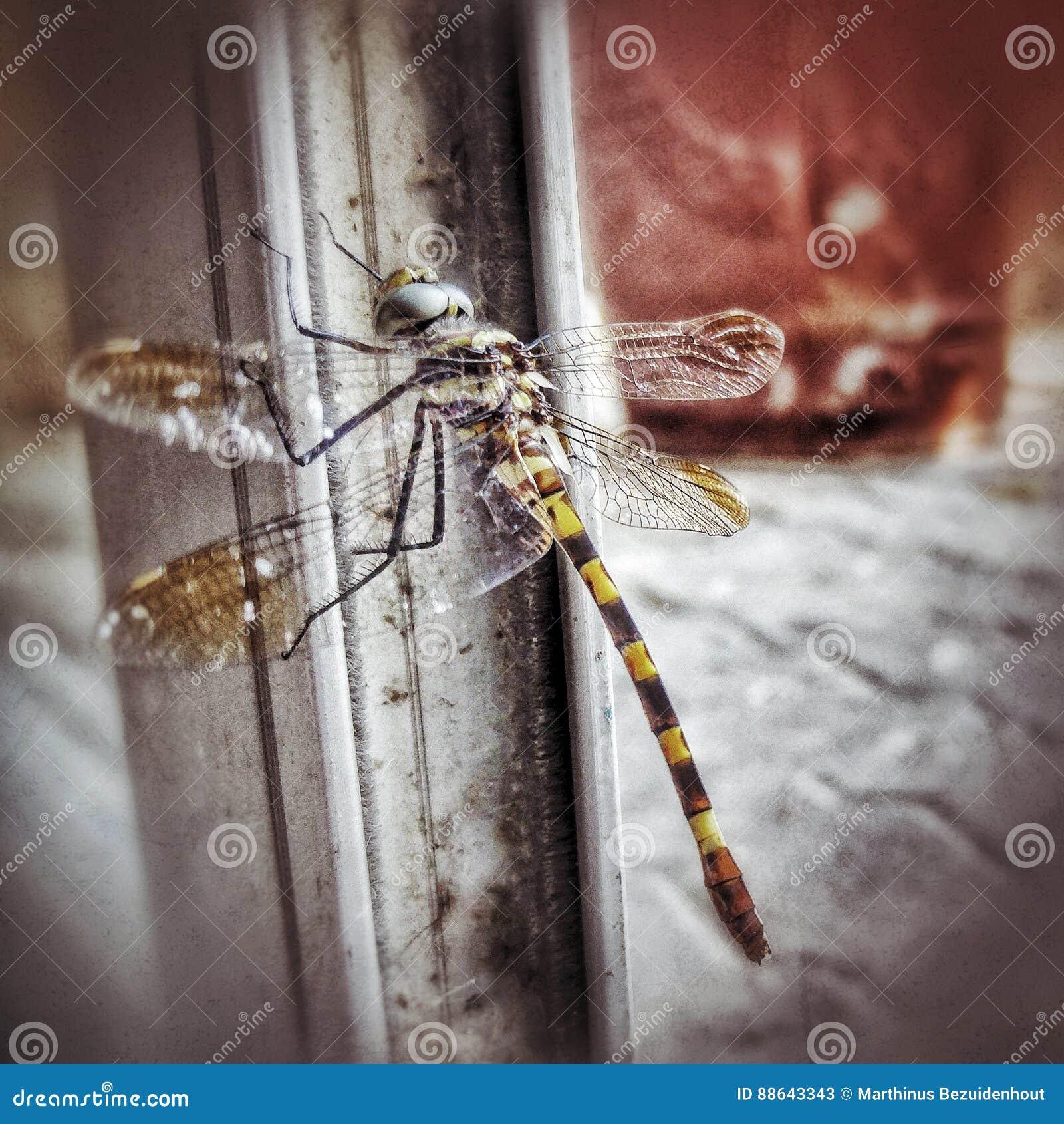 Plan rapproché de libellule