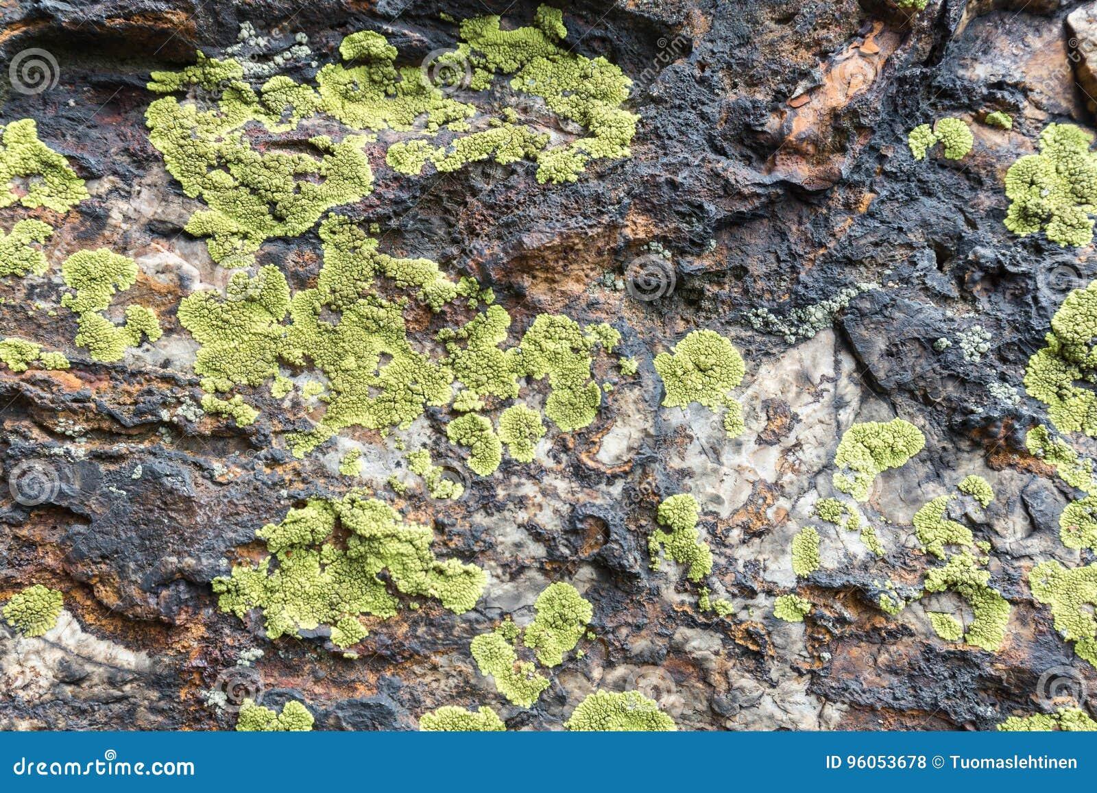 Plan rapproché de lichen de carte sur une roche