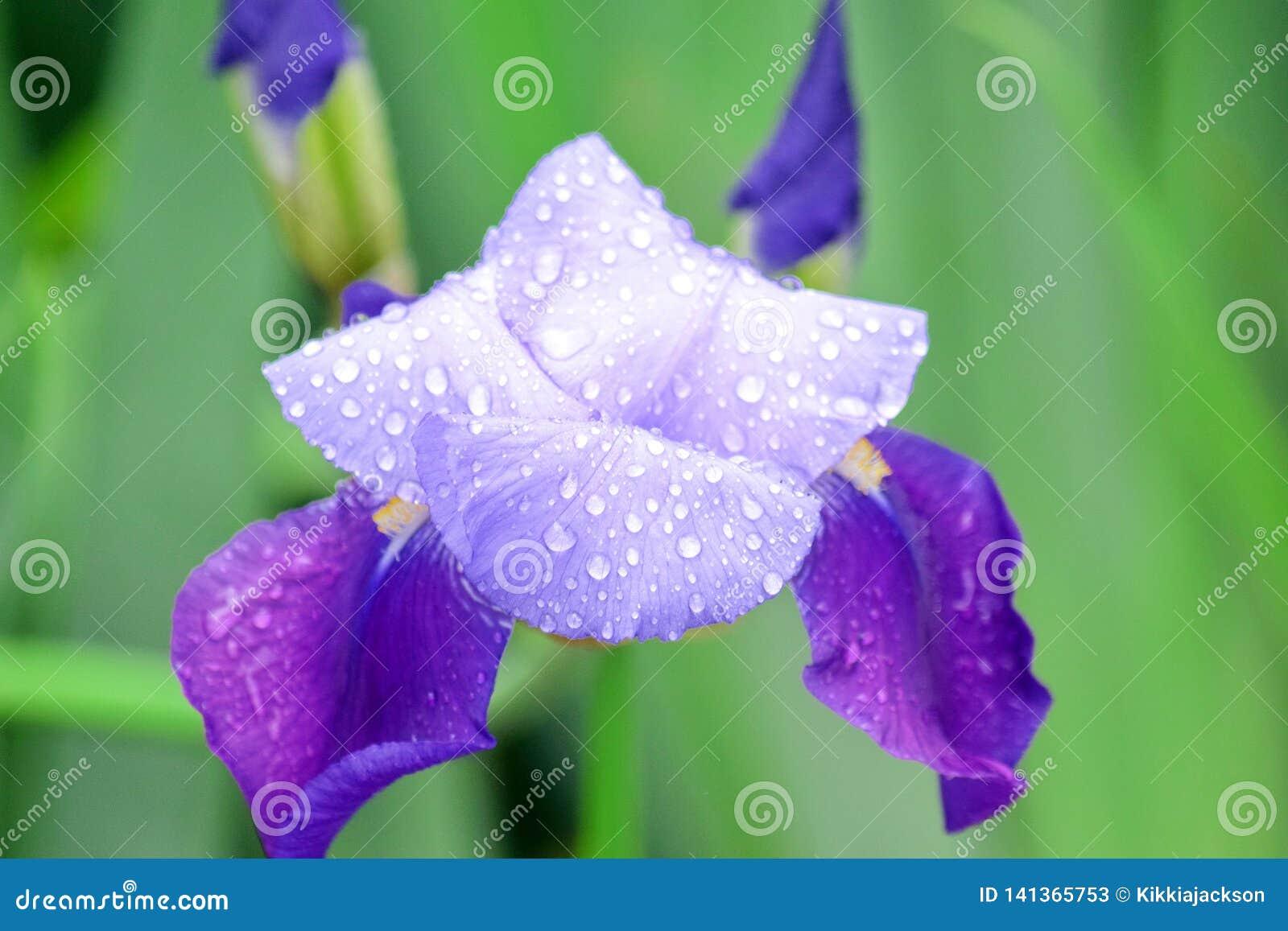 Plan rapproché de petit groupe d Iris Violet Flowers Home Garden Stock Pfoto
