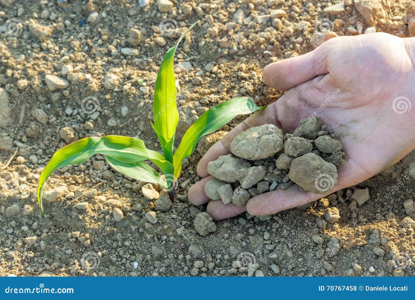 Plan rapproché de petite usine de maïs de l agriculture biologique avec la ferme