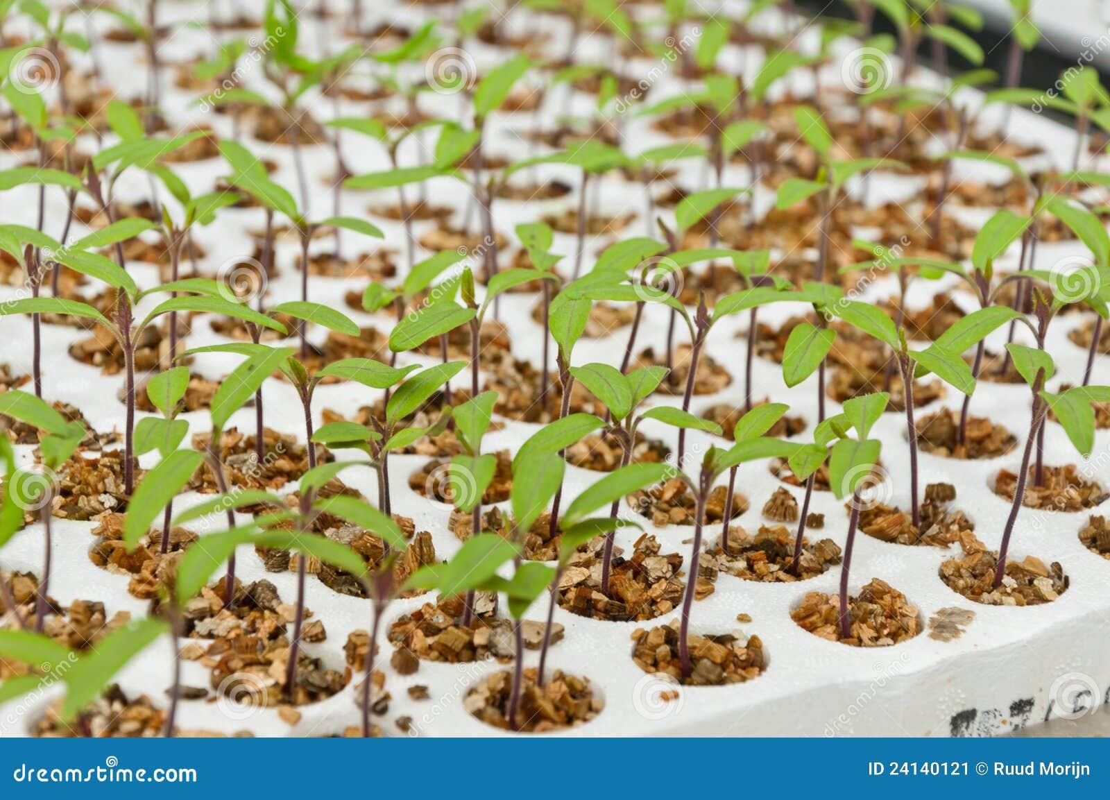Plan rapproché de petites plantes de tomate en serre chaude