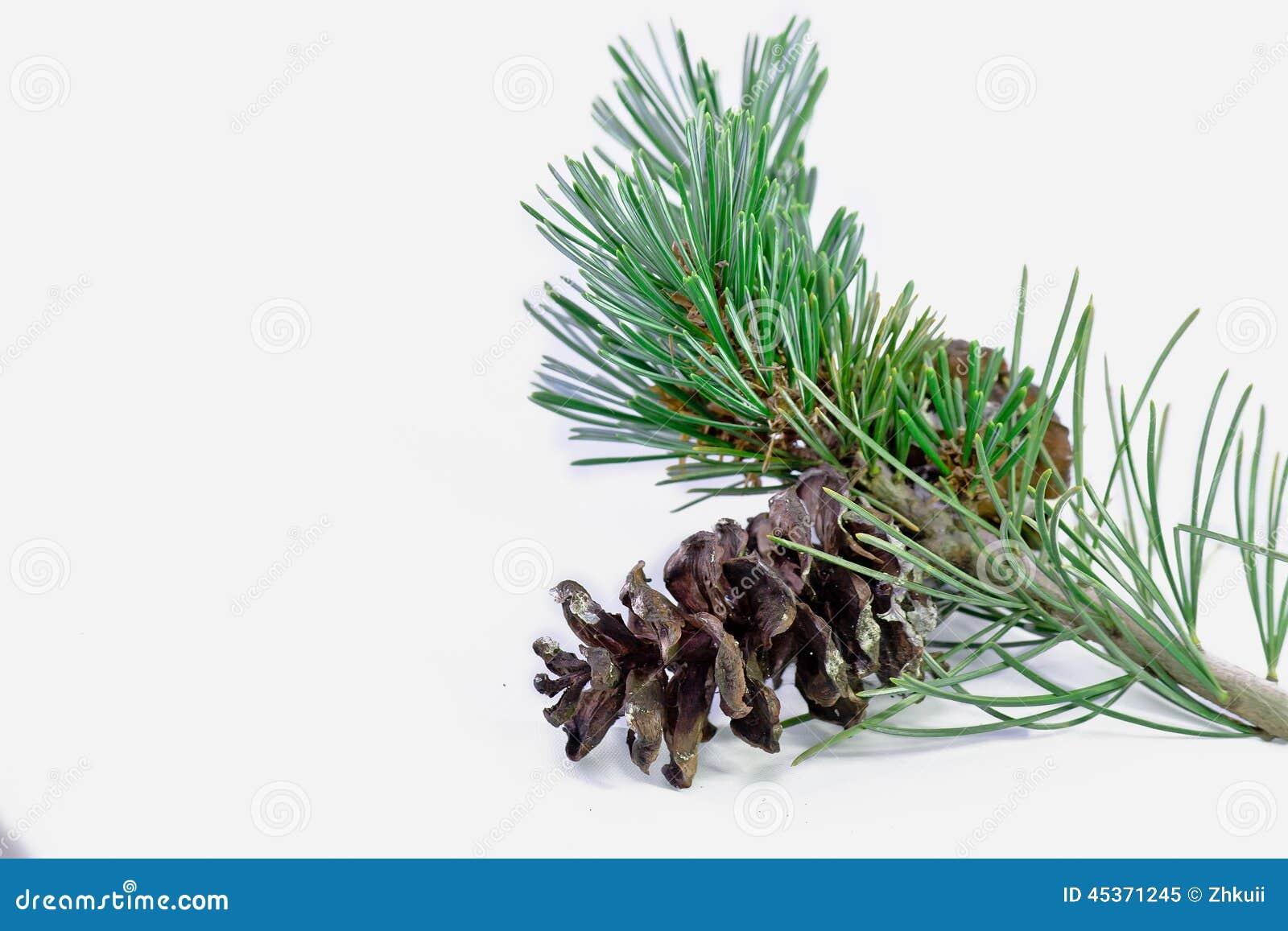 Plan rapproché de pin de Noël