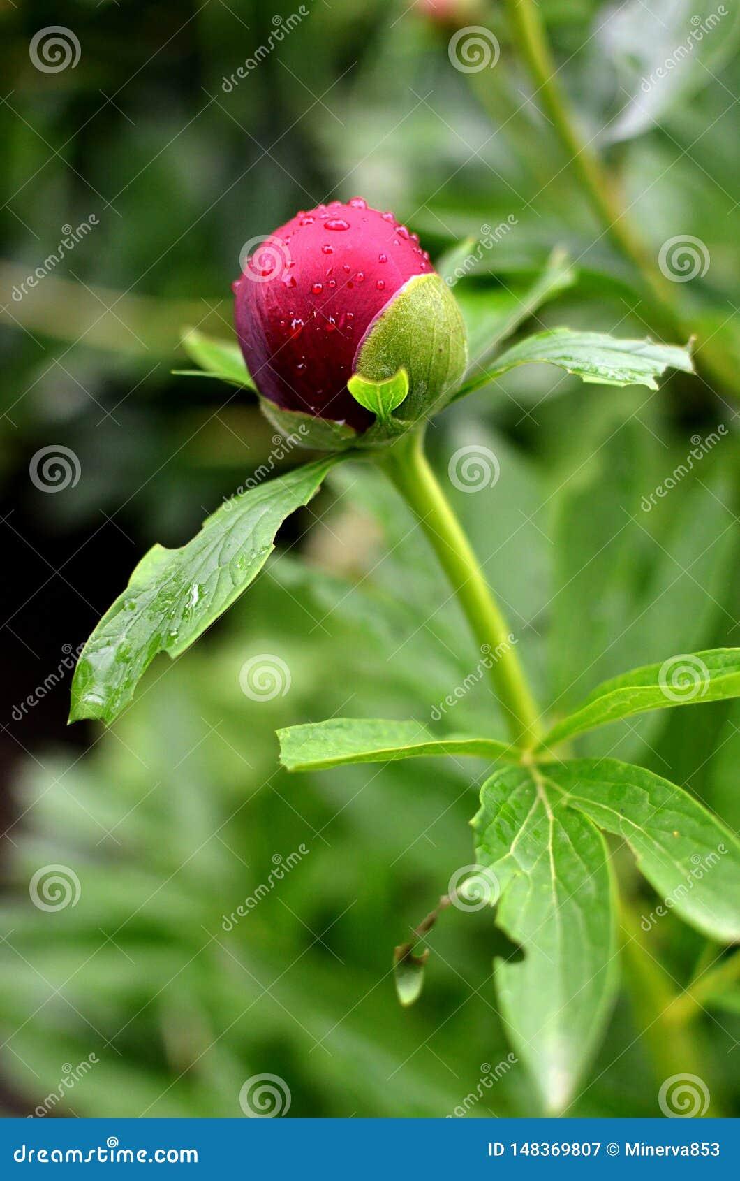 Plan rapproché de pivoine rouge dans le jardin Fleur de pivoine de Bourgogne avec de petites gouttes de l eau