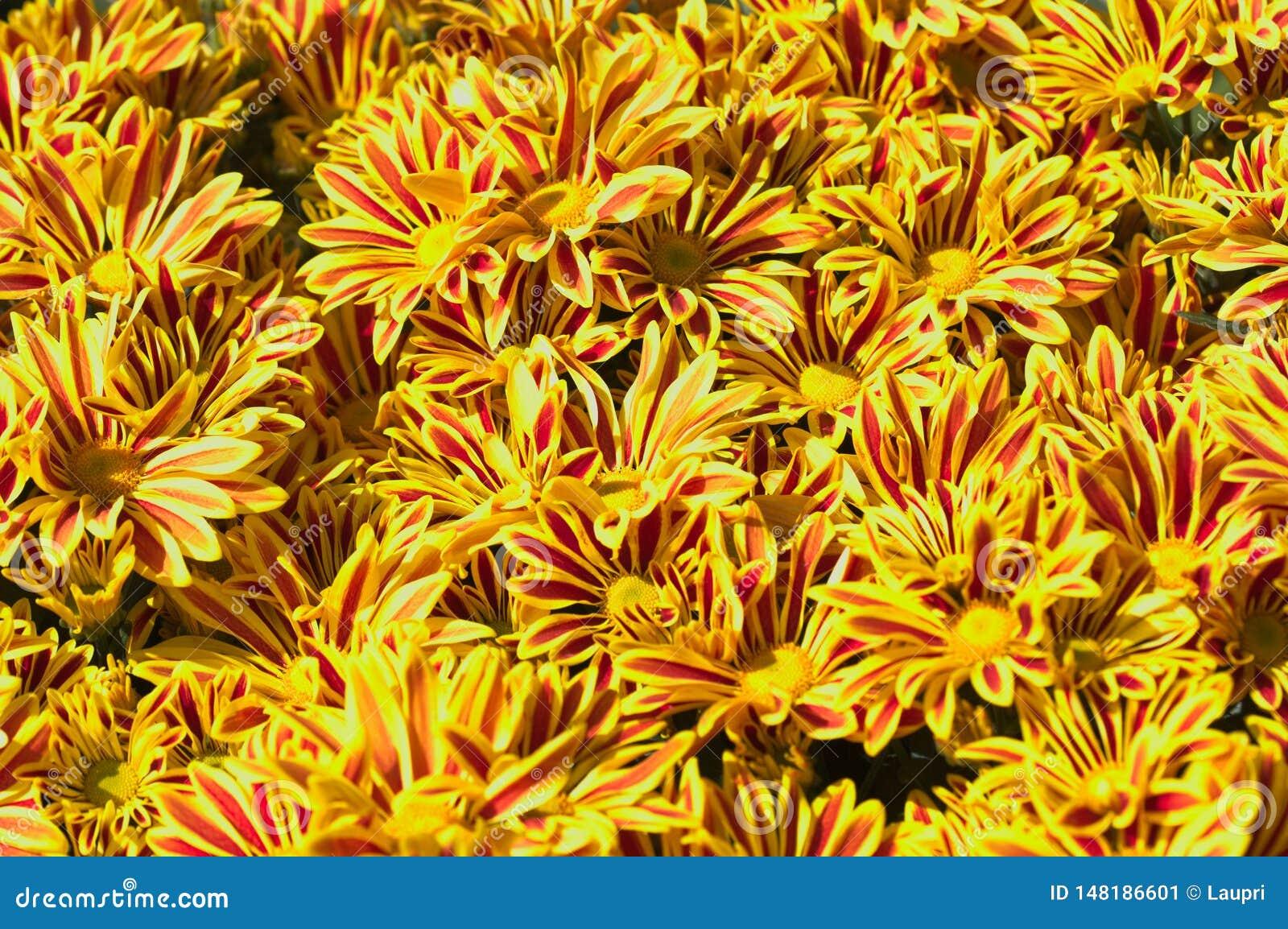 Plan rapproché de quelques marguerites jaunes avec les rayures rougeâtres