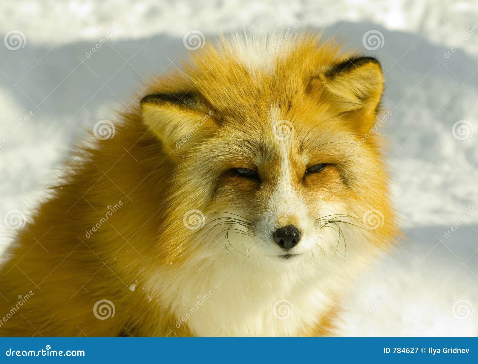 Plan rapproché de renard rouge