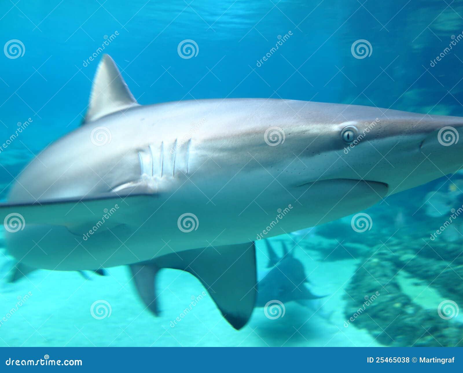 Plan rapproché de requin sombre