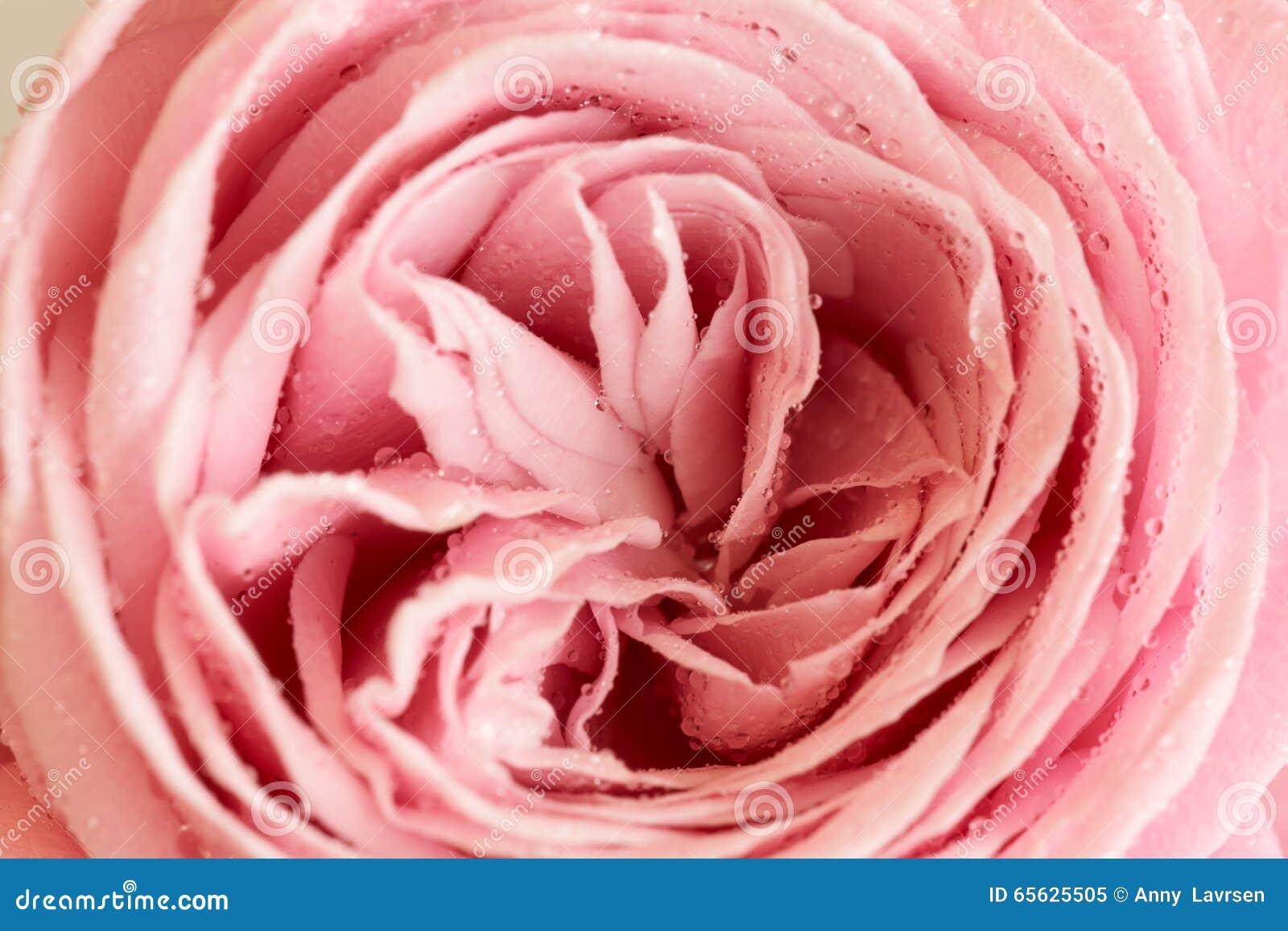 Plan rapproché de rose de rose avec des waterdrops