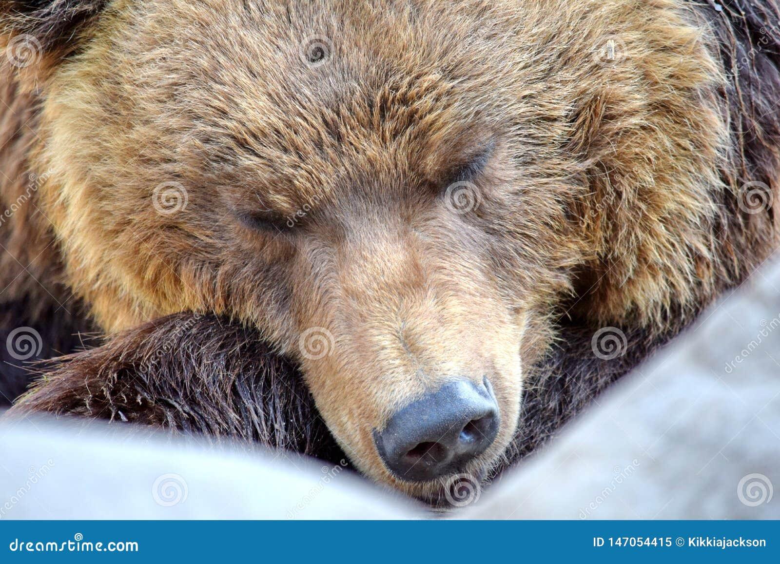 Plan rapproché de sommeil d Arctos Beringianus d Ursus d ours de Brown
