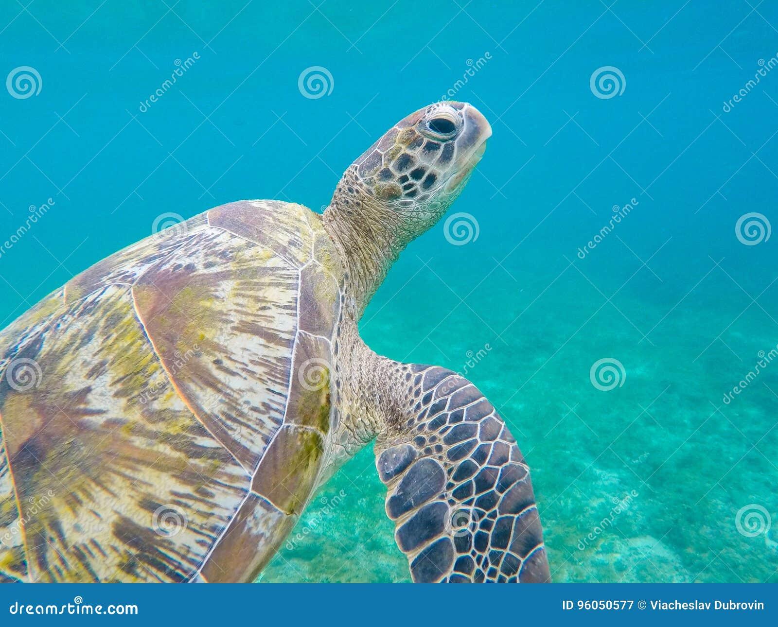 Plan rapproché de tortue de mer verte en eau de mer peu profonde Plan rapproché de tortue de mer