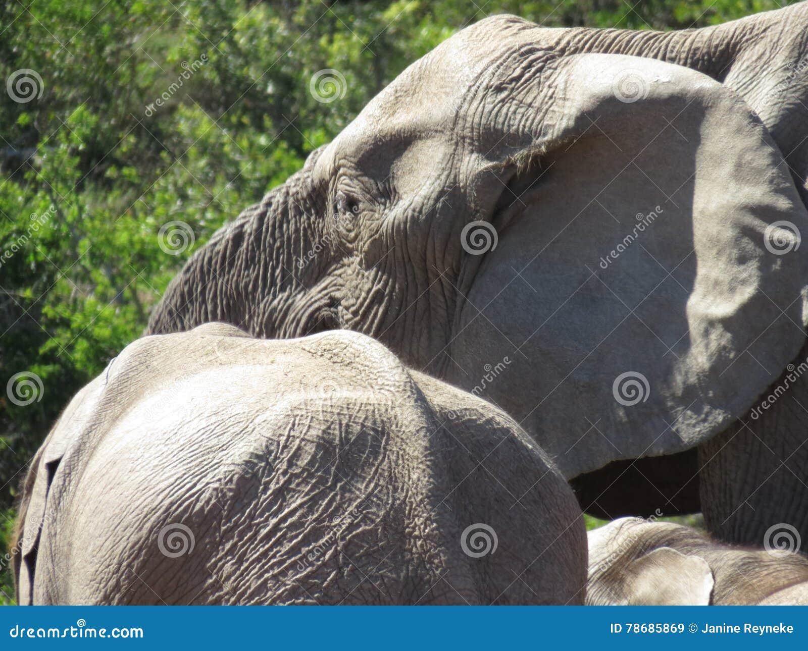 Plan rapproché des éléphants