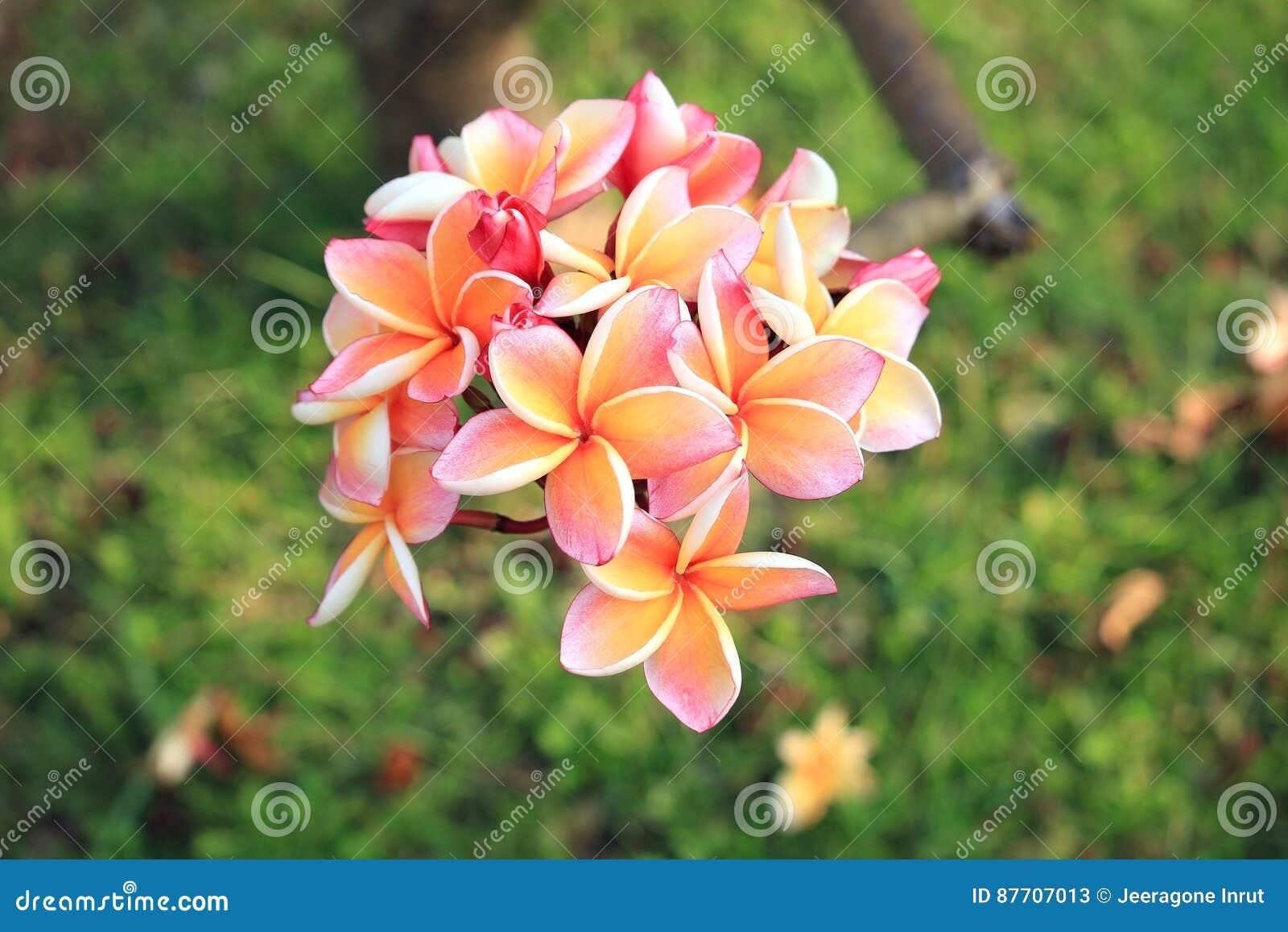 Plan rapproché des fleurs de plumeria
