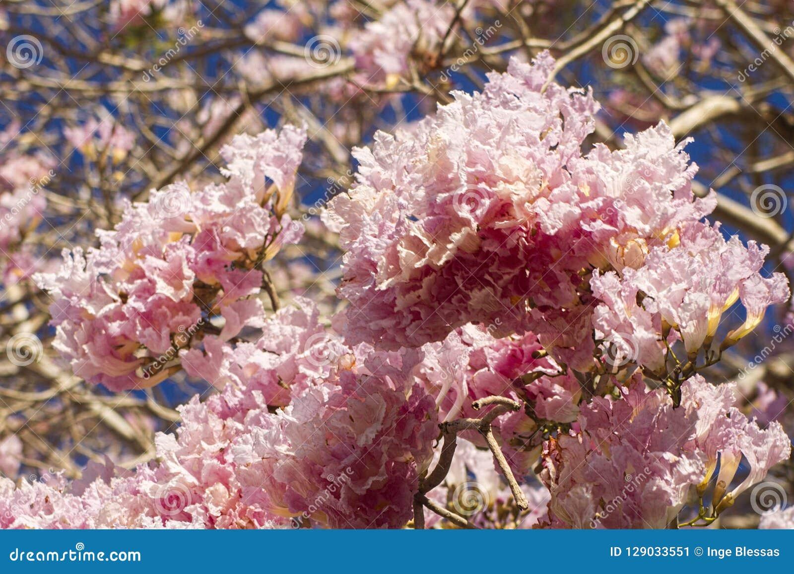 Plan rapproché des fleurs roses d arbre de trompette