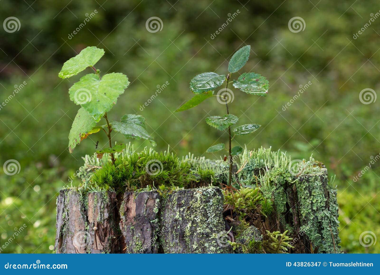 Plan rapproch des jeunes arbres de la mousse et du lichen sur un tron on d 39 un arbre photo - Mousse sur les arbres ...