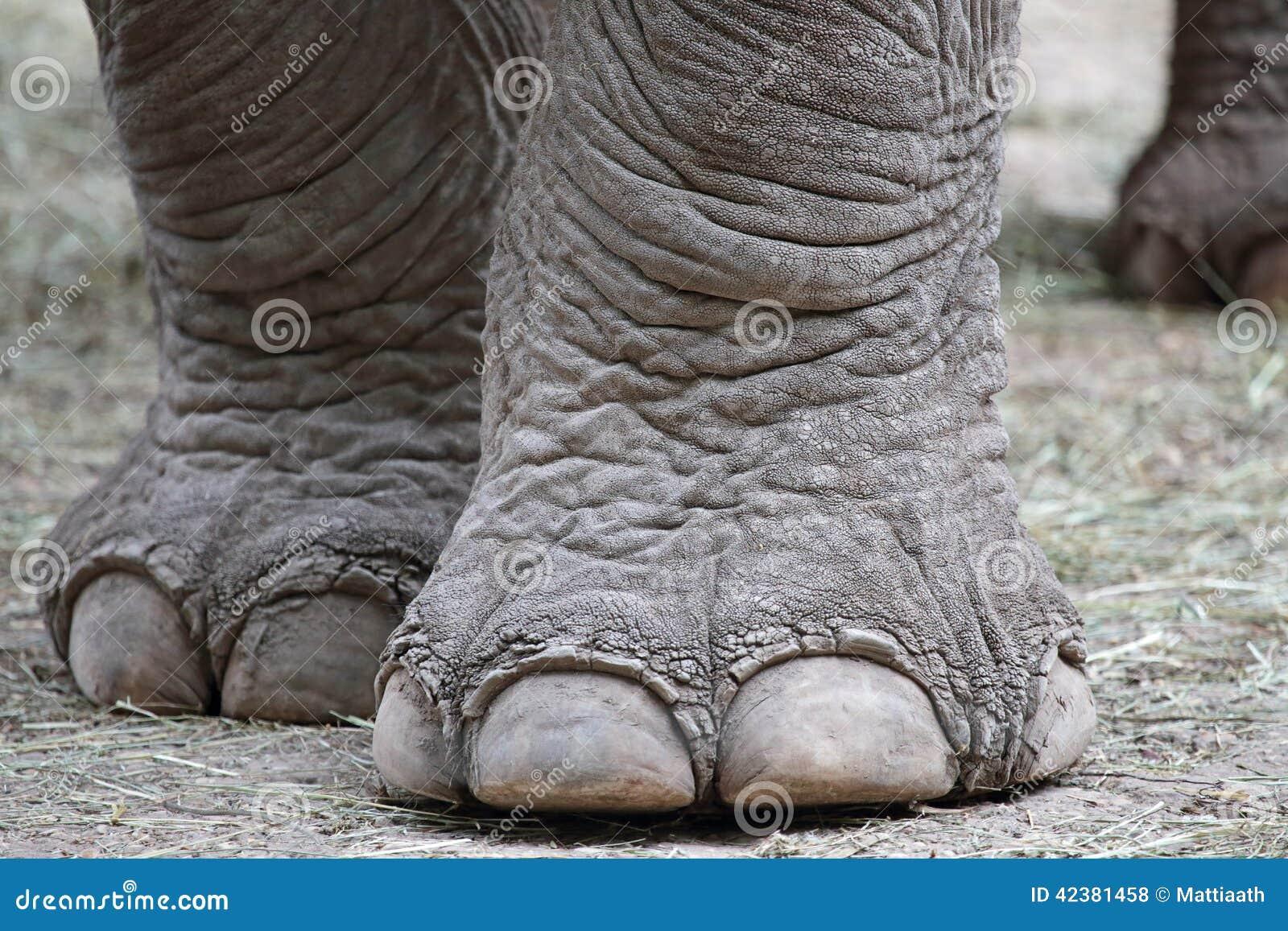 Plan rapproch des pieds d 39 l phant photo stock image - Entretien pied d elephant ...