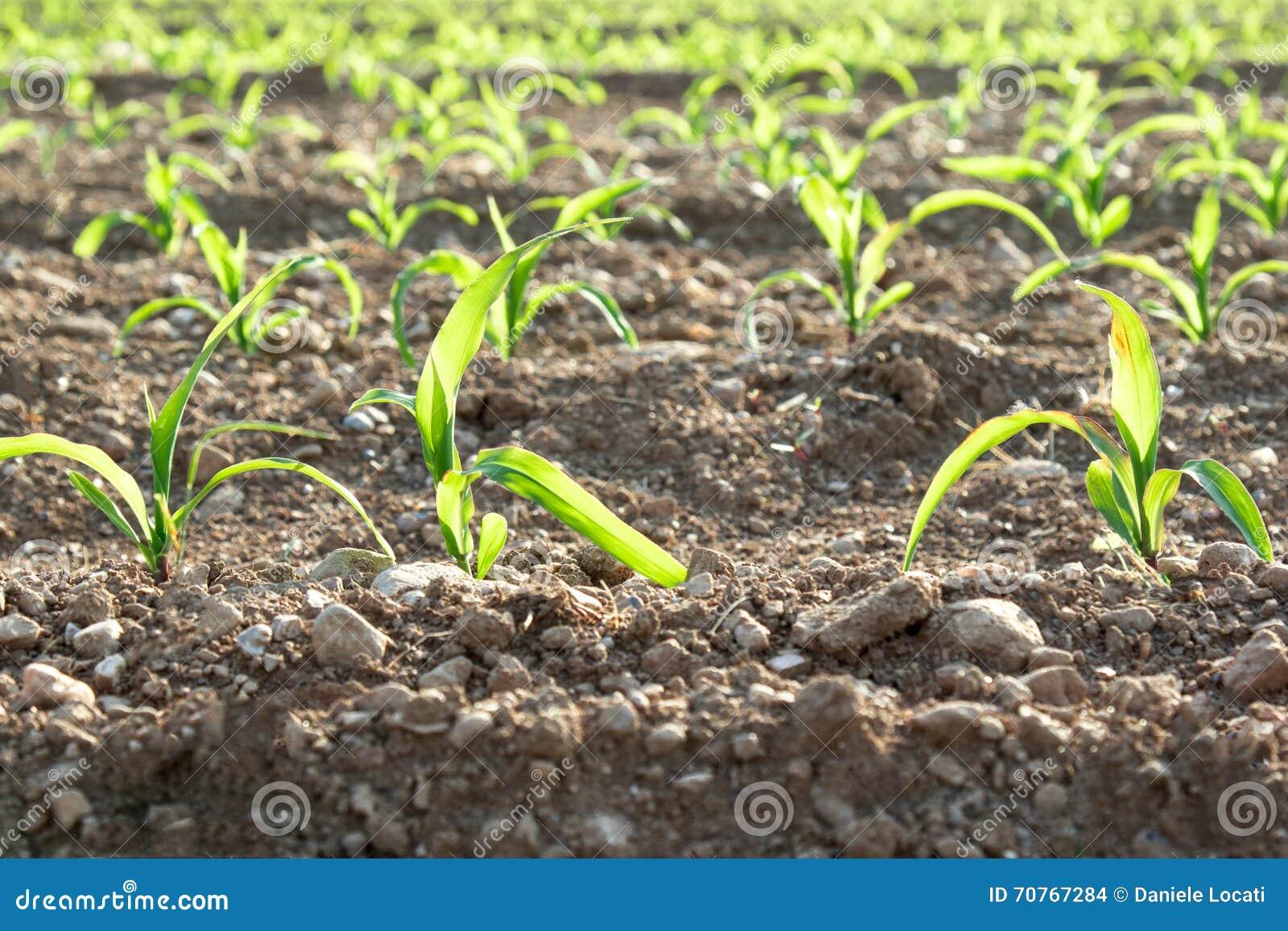 Plan rapproché des rangées de petites usines de maïs de l agriculture biologique en Italie