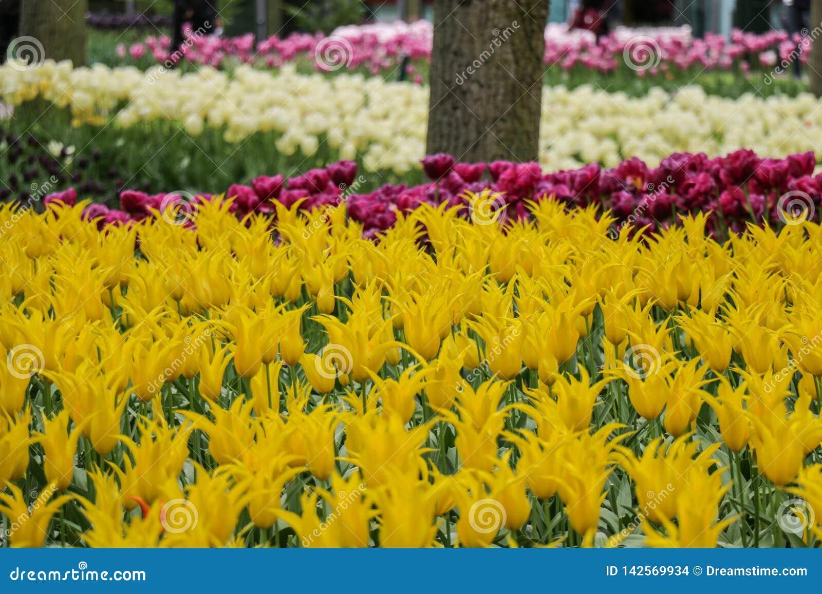 Plan rapproché des tulipes jaunes dans un jardin de forêt