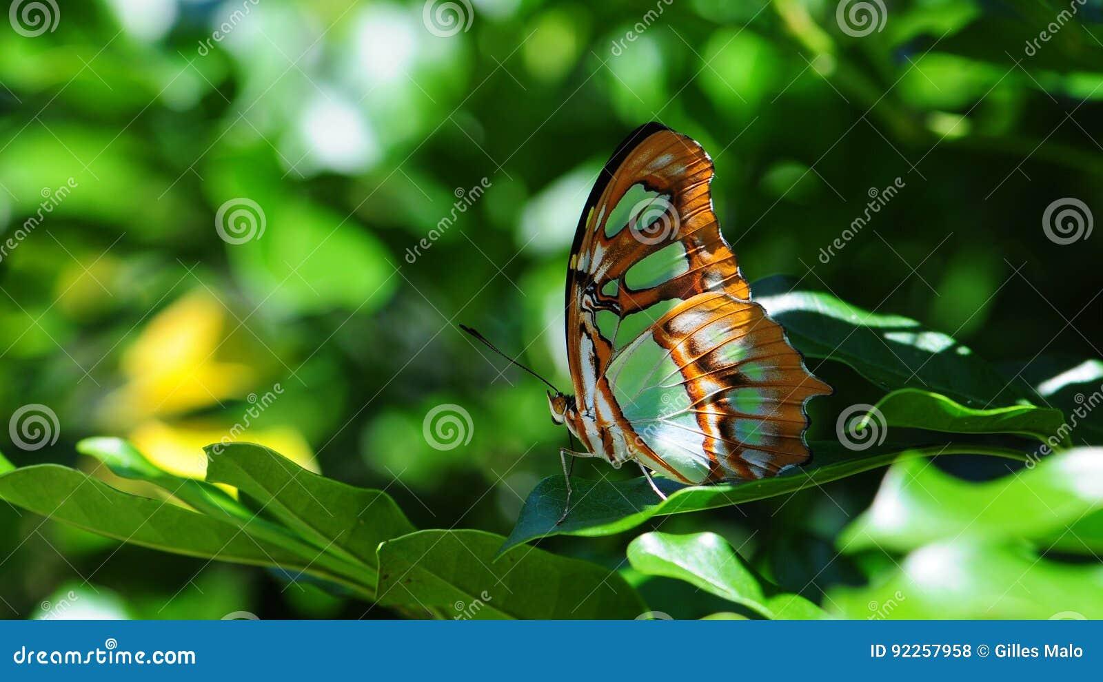 Plan rapproché du dessous du papillon de malachite