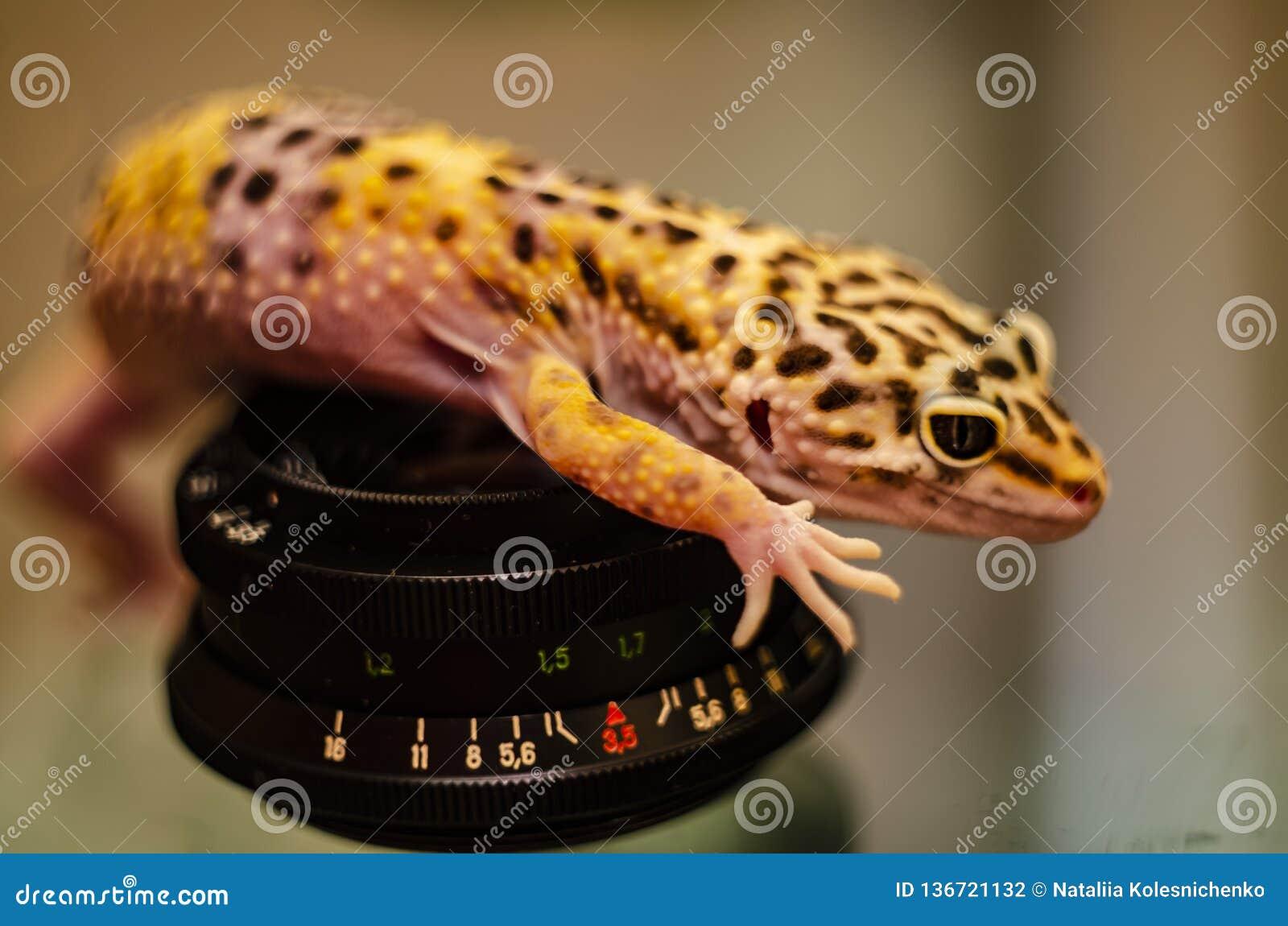 Plan rapproché du visage d un animal familier eublephar de gecko de léopard avec un fond brouillé mou