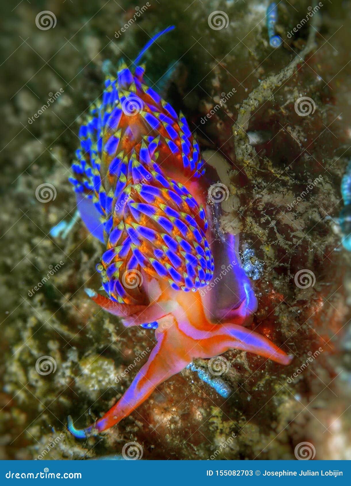 Plan rapproché et macro tir de couleur Godiva du nudibranch quatre pendant un piqué de loisirs en Tunku Abdul Rahman Park, Kota K
