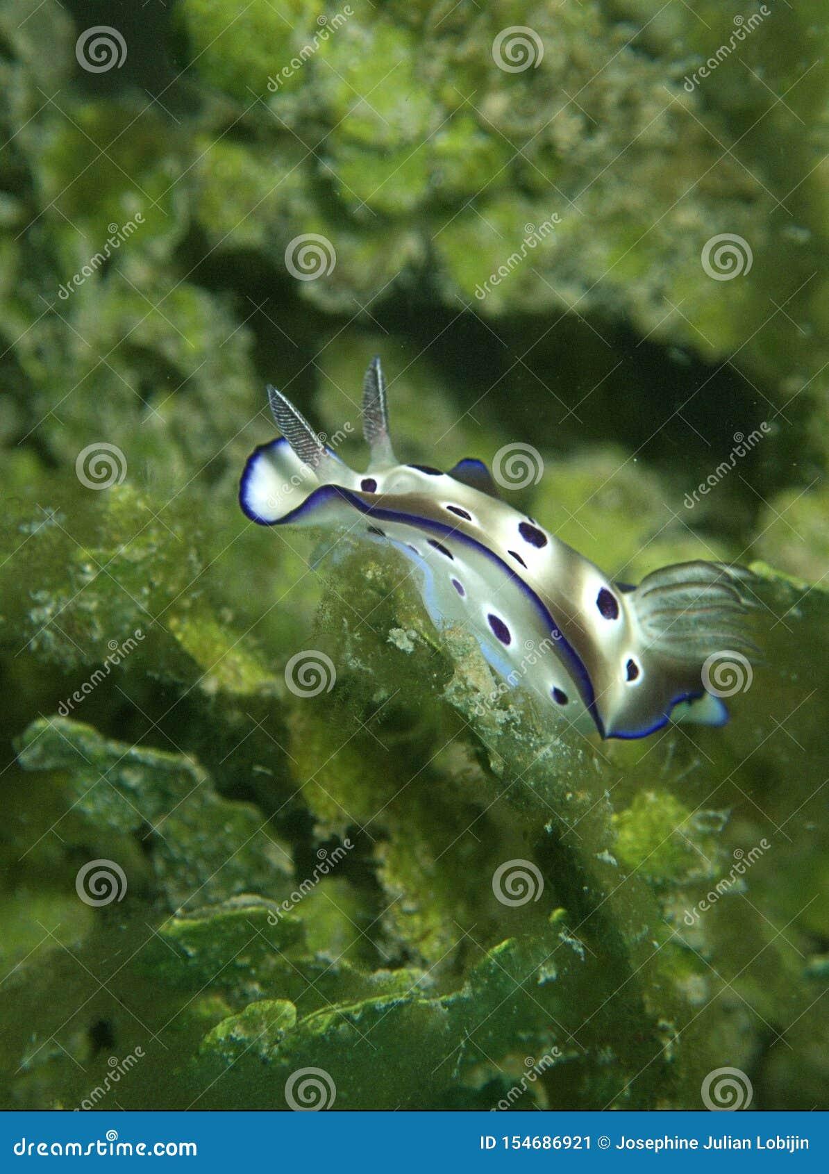 Plan rapproché et macro tir du tryoni de Hypselodoris de nudibranch pendant un piqué de loisirs en Tunku Abdul Rahman Park, Kota