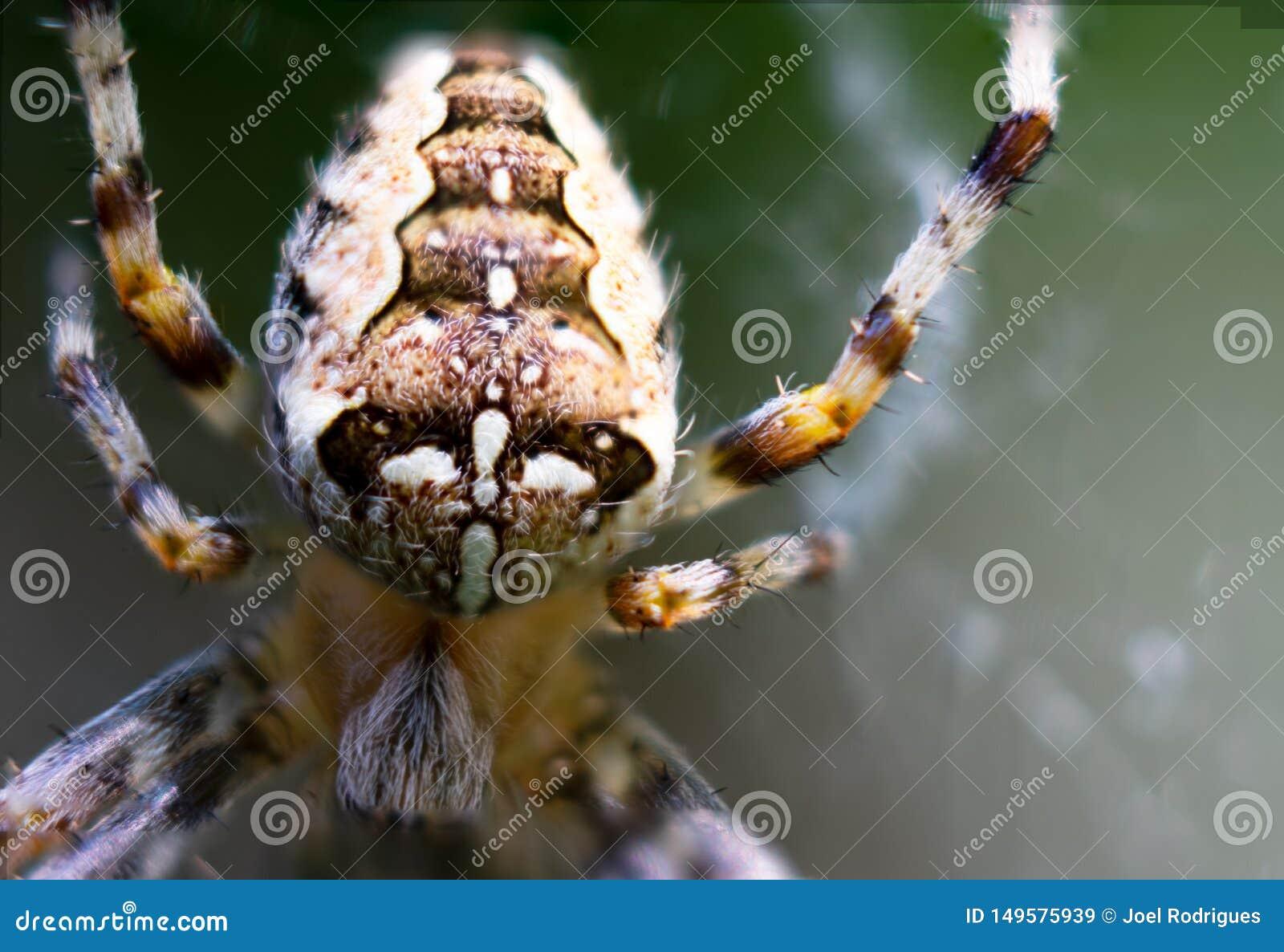 Plan rapproch? extr?me d araign?e de jardin europ?enne sur la toile d araign?e
