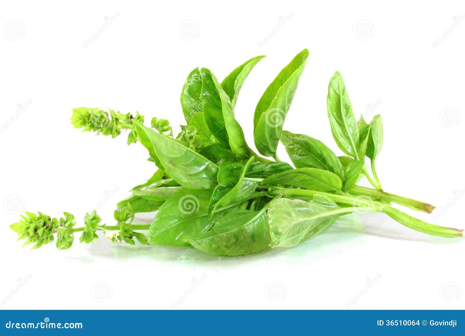 Plan rapproché frais d herbe de basilic