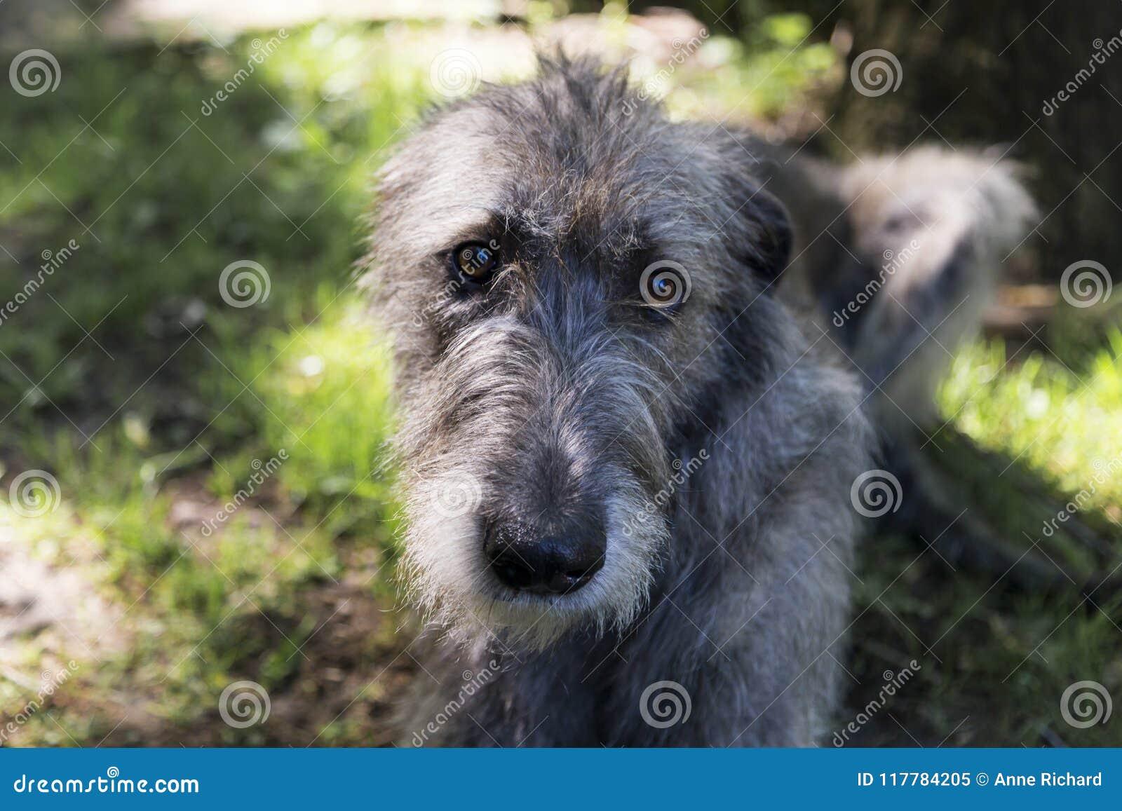 Plan rapproché frontal du beau chien-loup irlandais gris se couchant