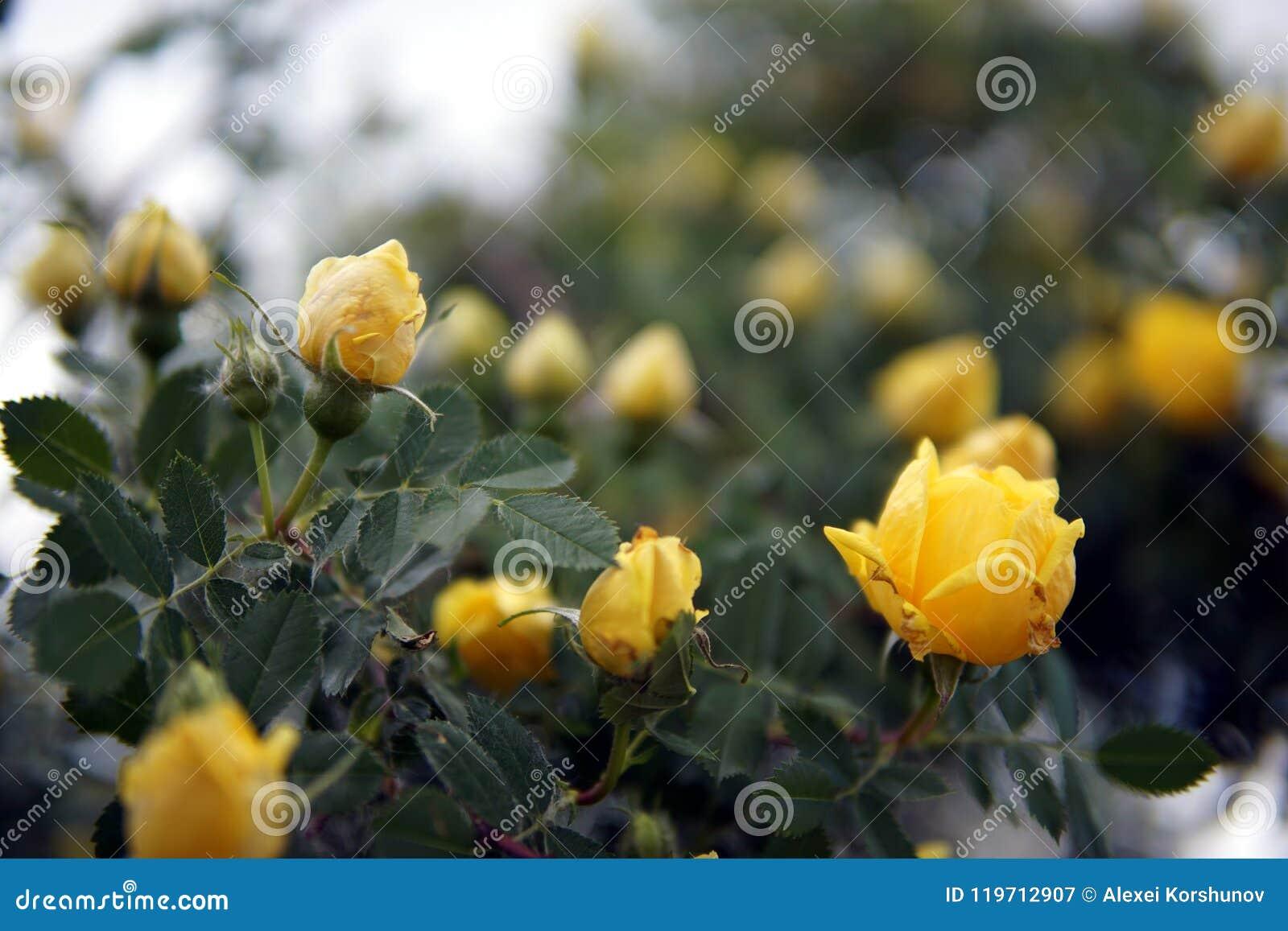Plan rapproché jaune de buisson de roseraie