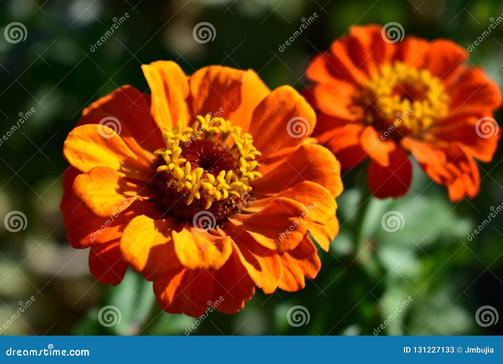 Plan rapproché orange et rouge de fleurs Détails, pétales et stamens Bush avec les feuilles vertes, lumière du soleil, jour ensol