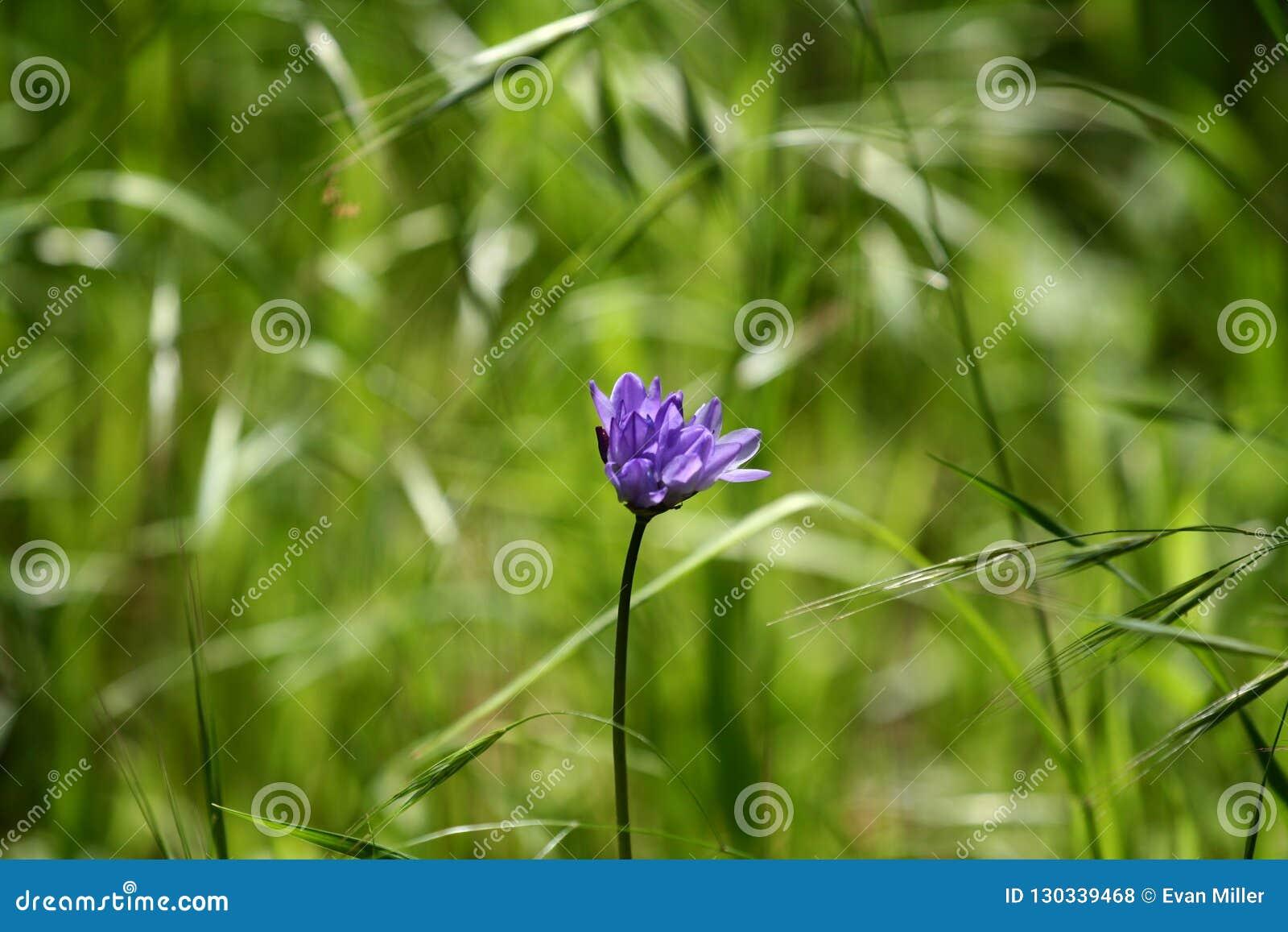 Plan rapproché pourpre simple de fleur dans le domaine
