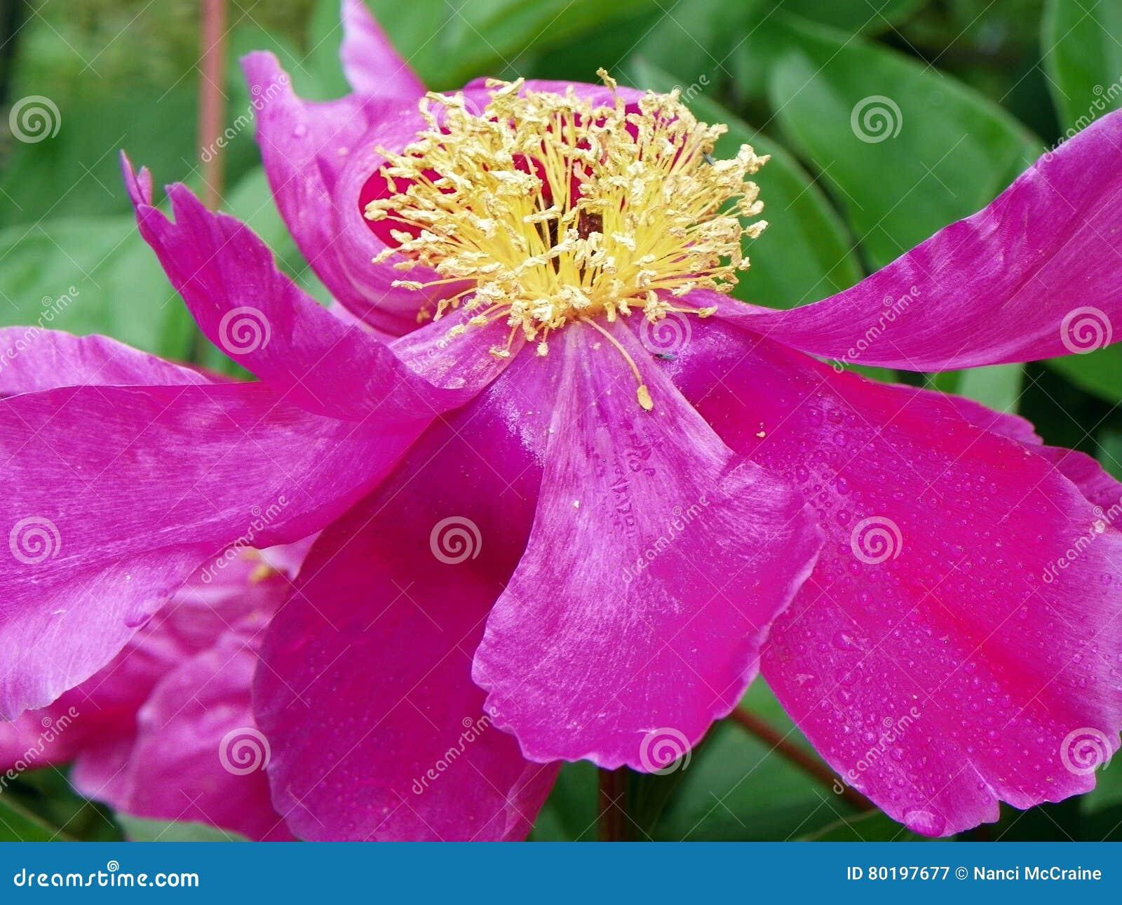 plan rapproché rose de fleur de pivoine montrant les pétales et l