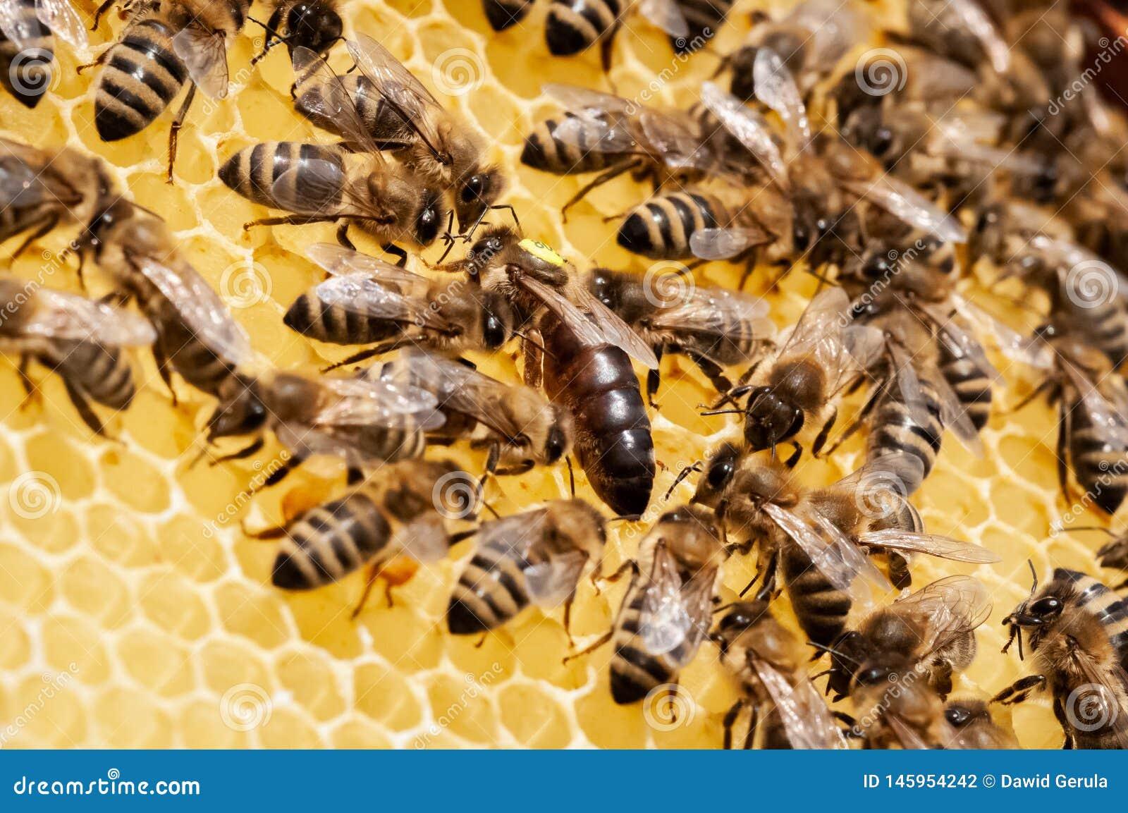 Plan rapproch? des abeilles sur le nid d abeilles dans la ruche, rucher, foyer s?lectif