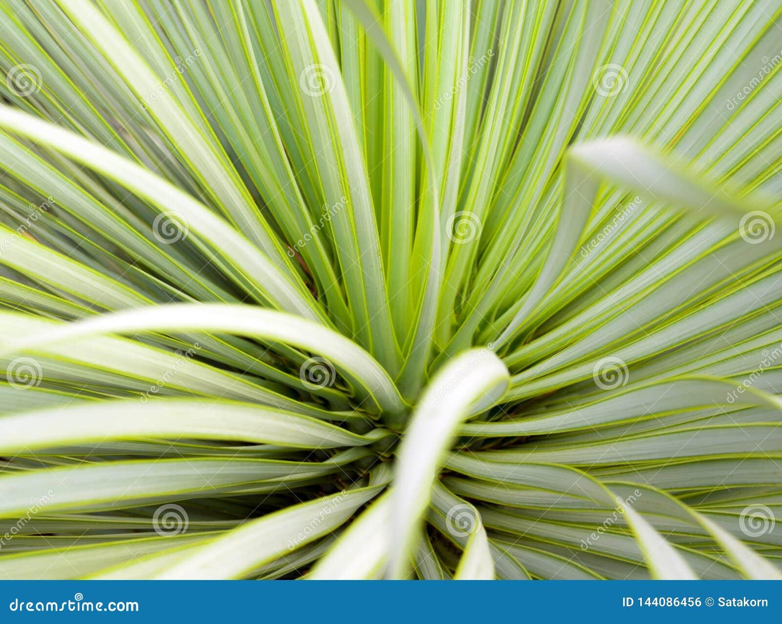 Plan rapproch?, ?pine et d?tail succulents d usine de yucca sur des feuilles de yucca de Narrowleaf