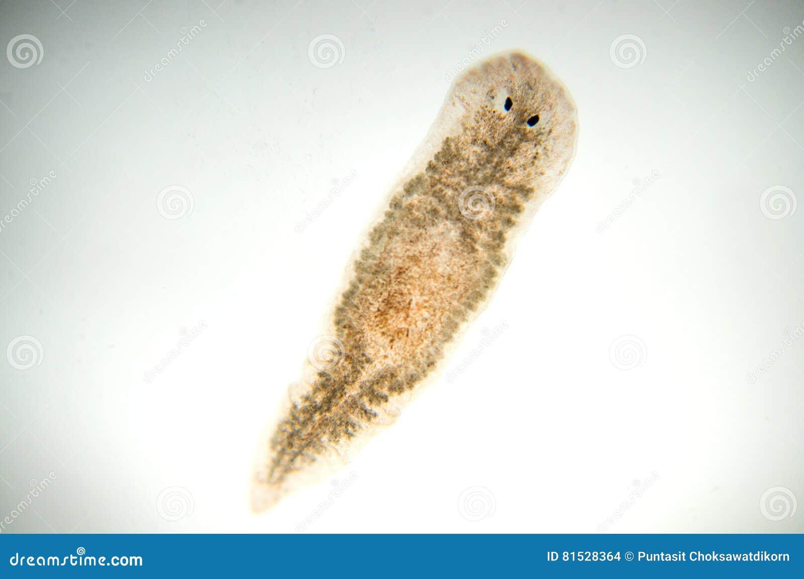 Download Planaria flatworm stock photo. Image of jungle, pond - 81528364