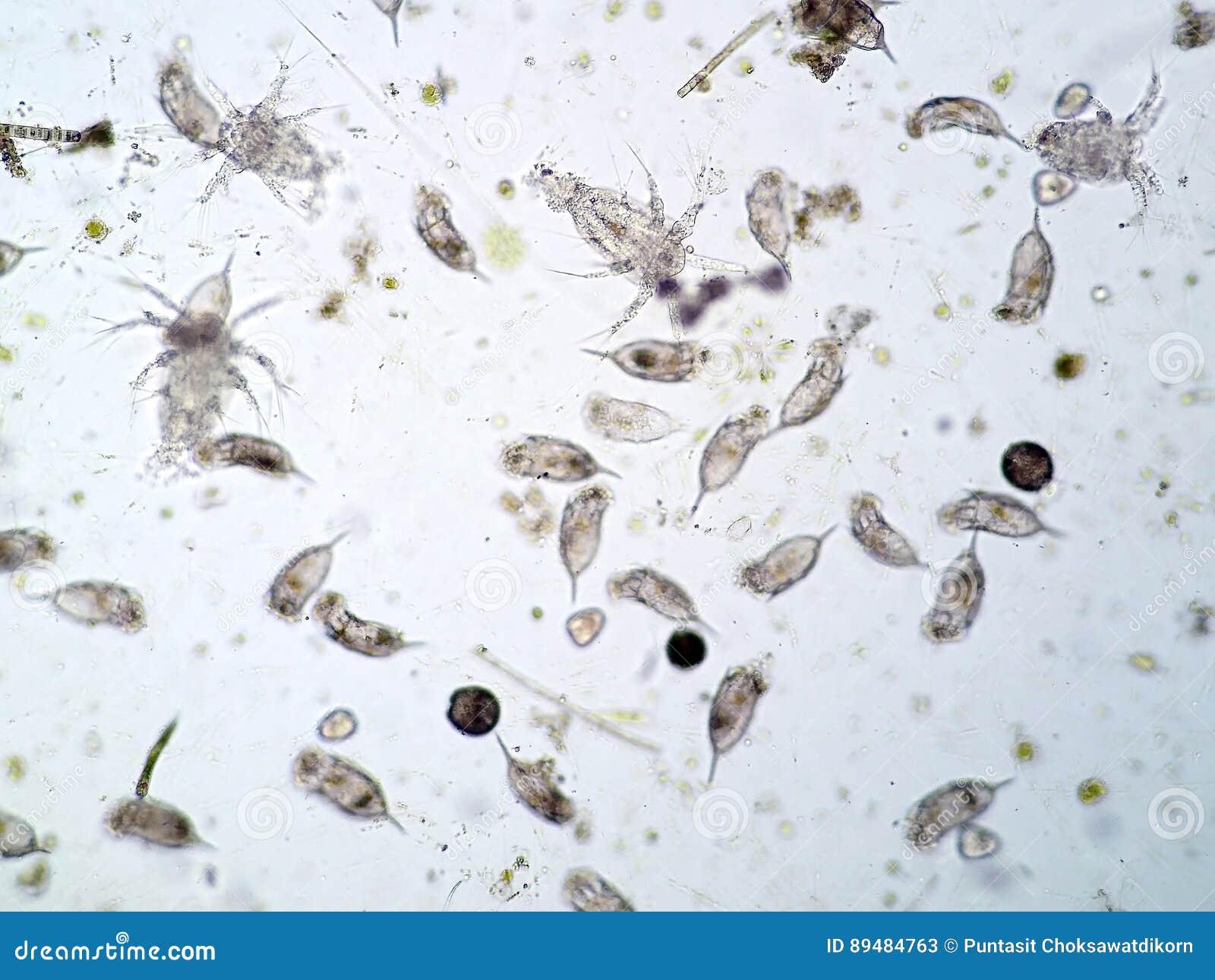 Plancton acquatico d acqua dolce