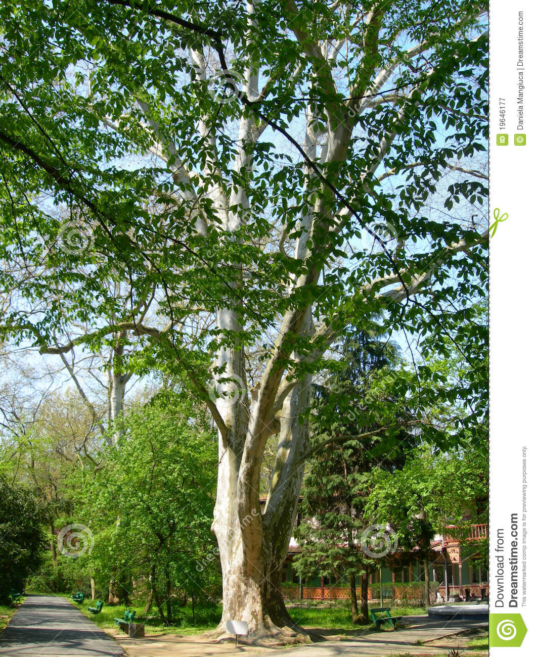 Platanus Orientalis - old Plane tree with lush foliage in summer.
