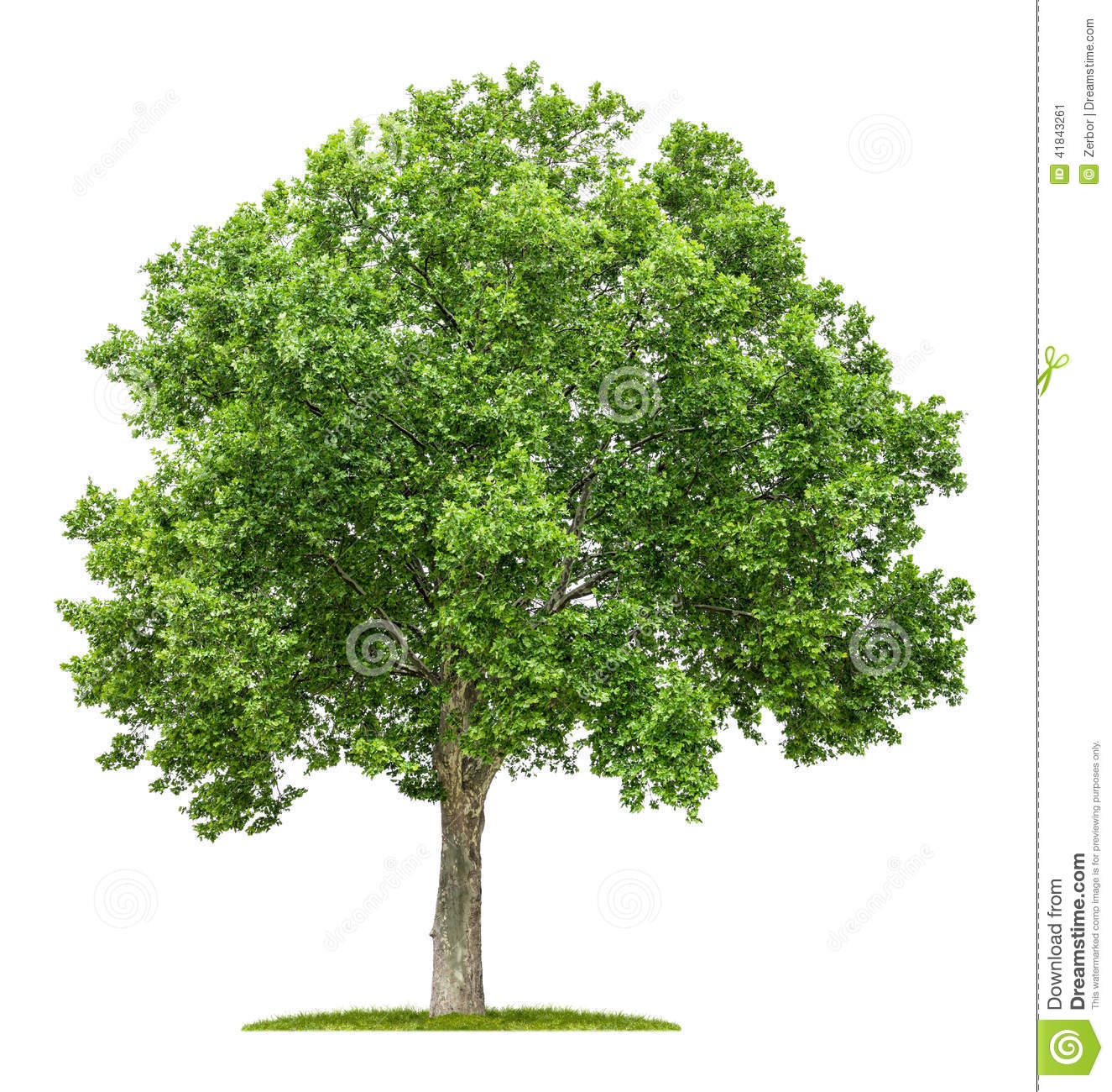 plane tree on a white background stock image image of isolated forest 41843261. Black Bedroom Furniture Sets. Home Design Ideas