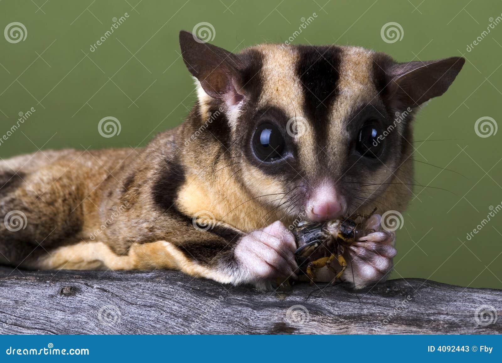 Planeur de sucre mangeant un cricket